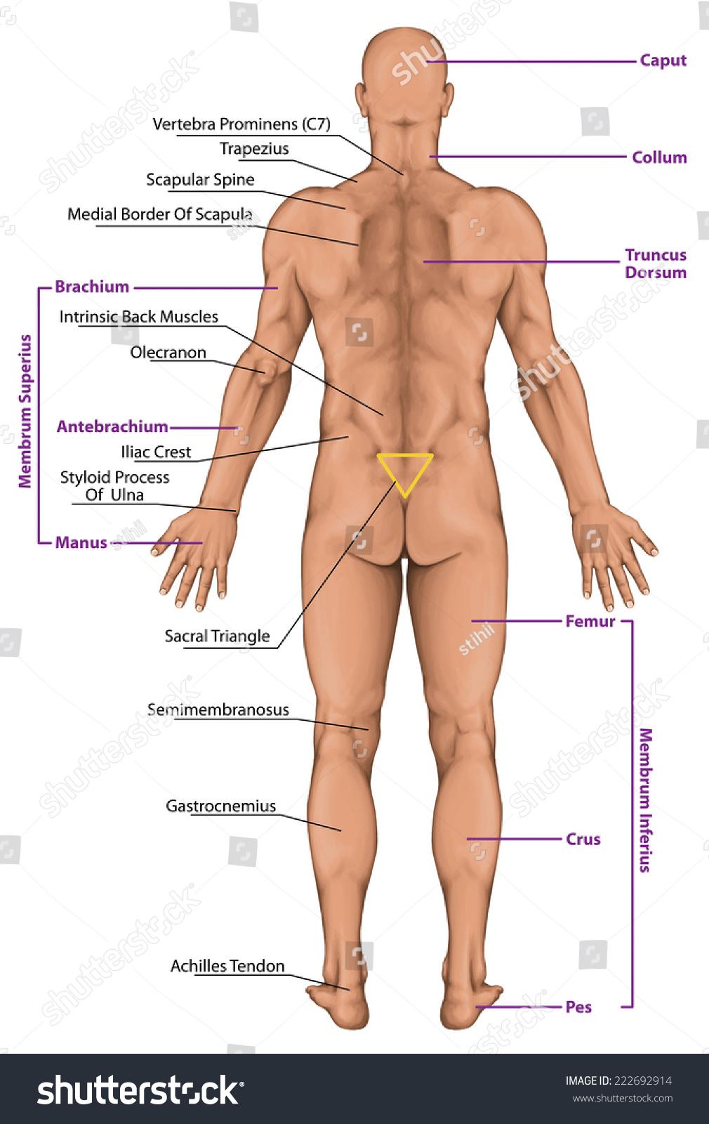 Royalty-free Male, masculine, man's anatomical body,… #222692914 ...