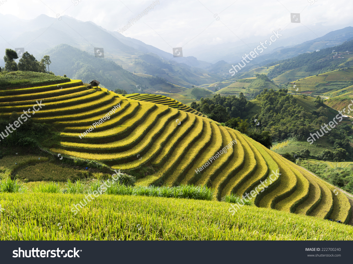 Asia rice field by harvesting season in mu cang chai for Terrace farming definition