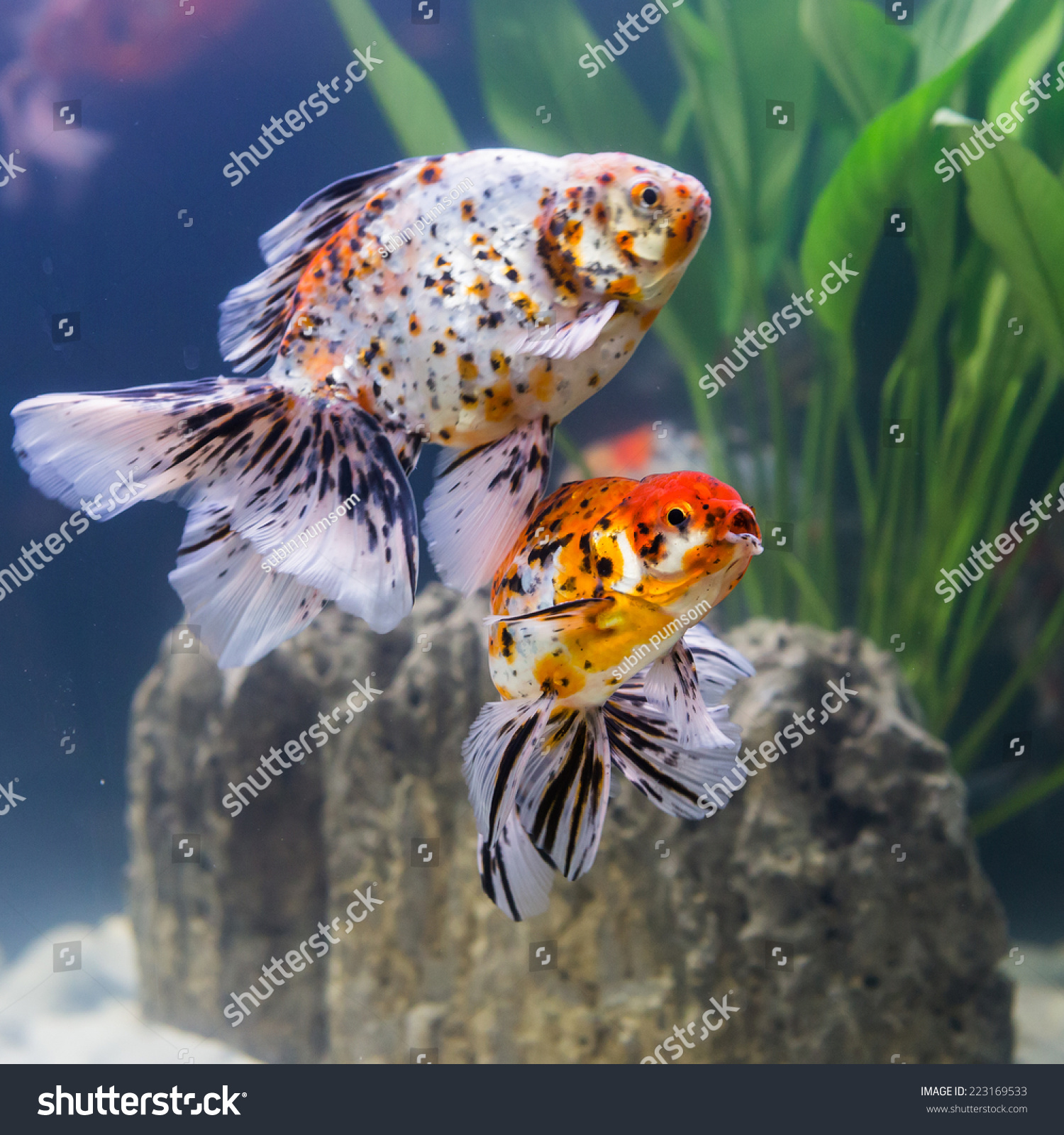 Pussy betta fish