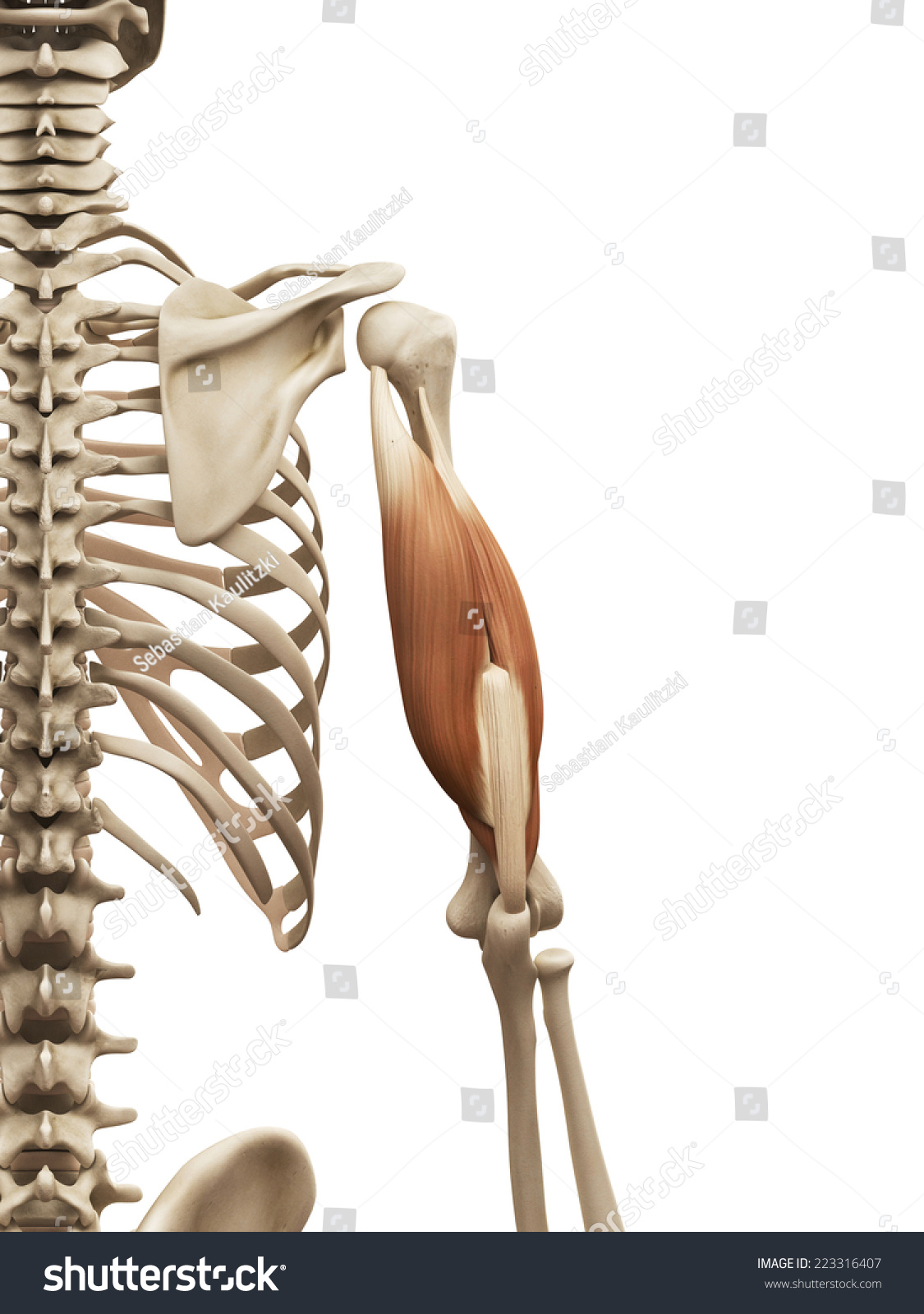 Muscle Anatomy Triceps Stock Illustration 223316407 - Shutterstock