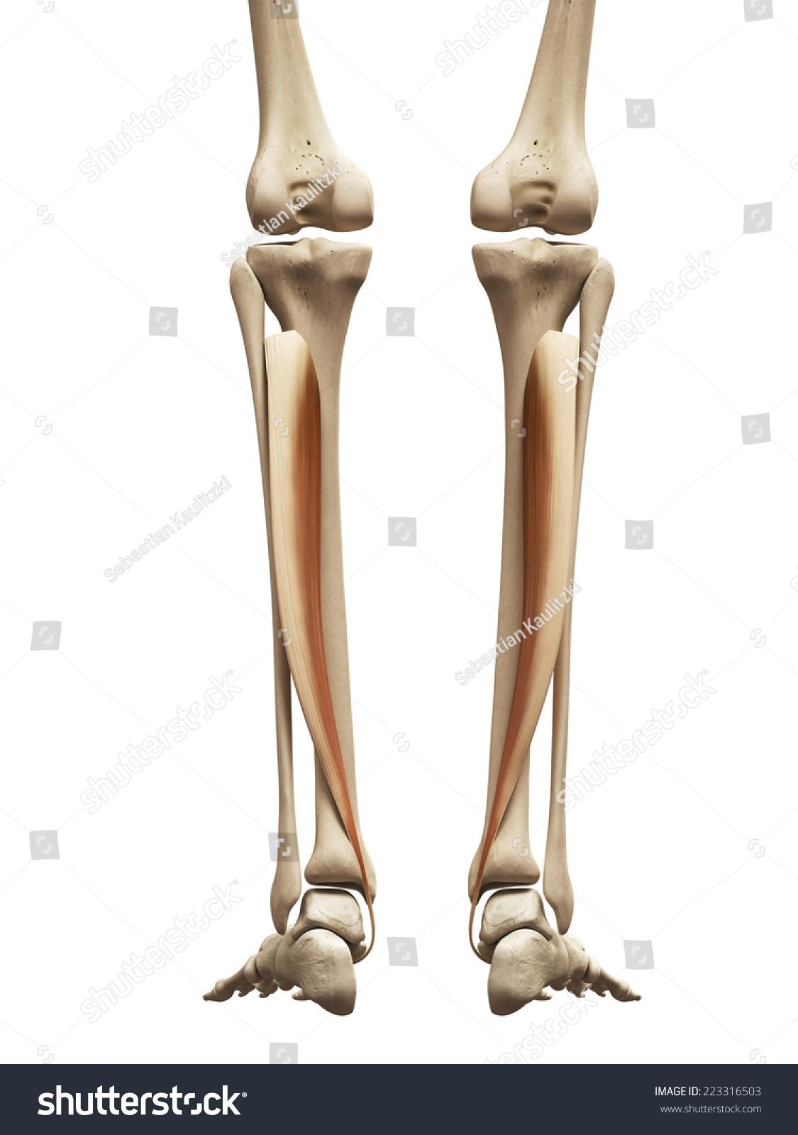 Muscle Anatomy Tibialis Posterior Stock Illustration 223316503