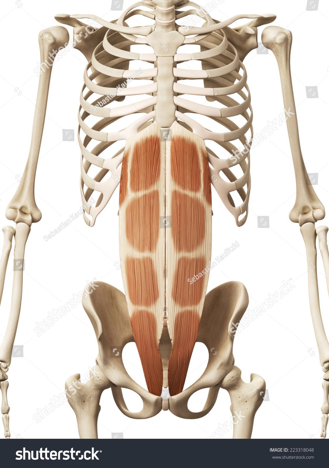 Muscle Anatomy Rectus Abdominis Stock Illustration Royalty Free