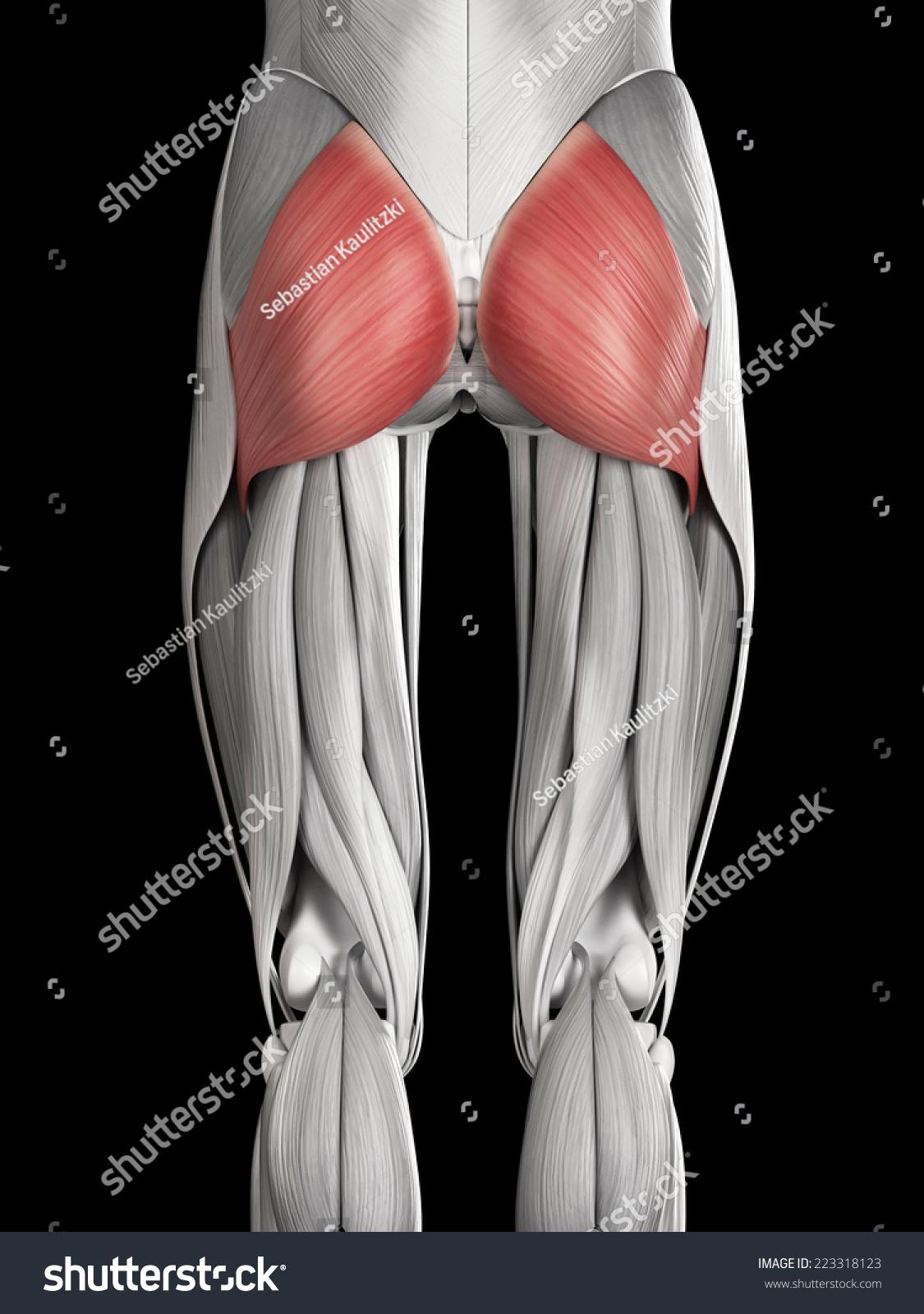 Human Muscle Anatomy Gluteus Maximus Stock Illustration 223318123 ...