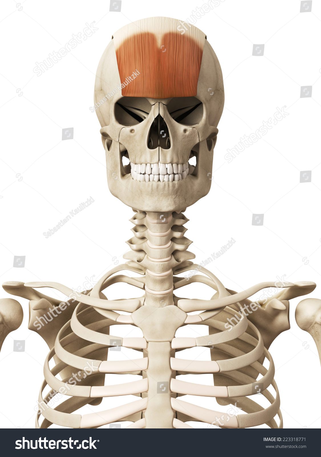 Muscle Anatomy Frontalis Stock Illustration 223318771 Shutterstock