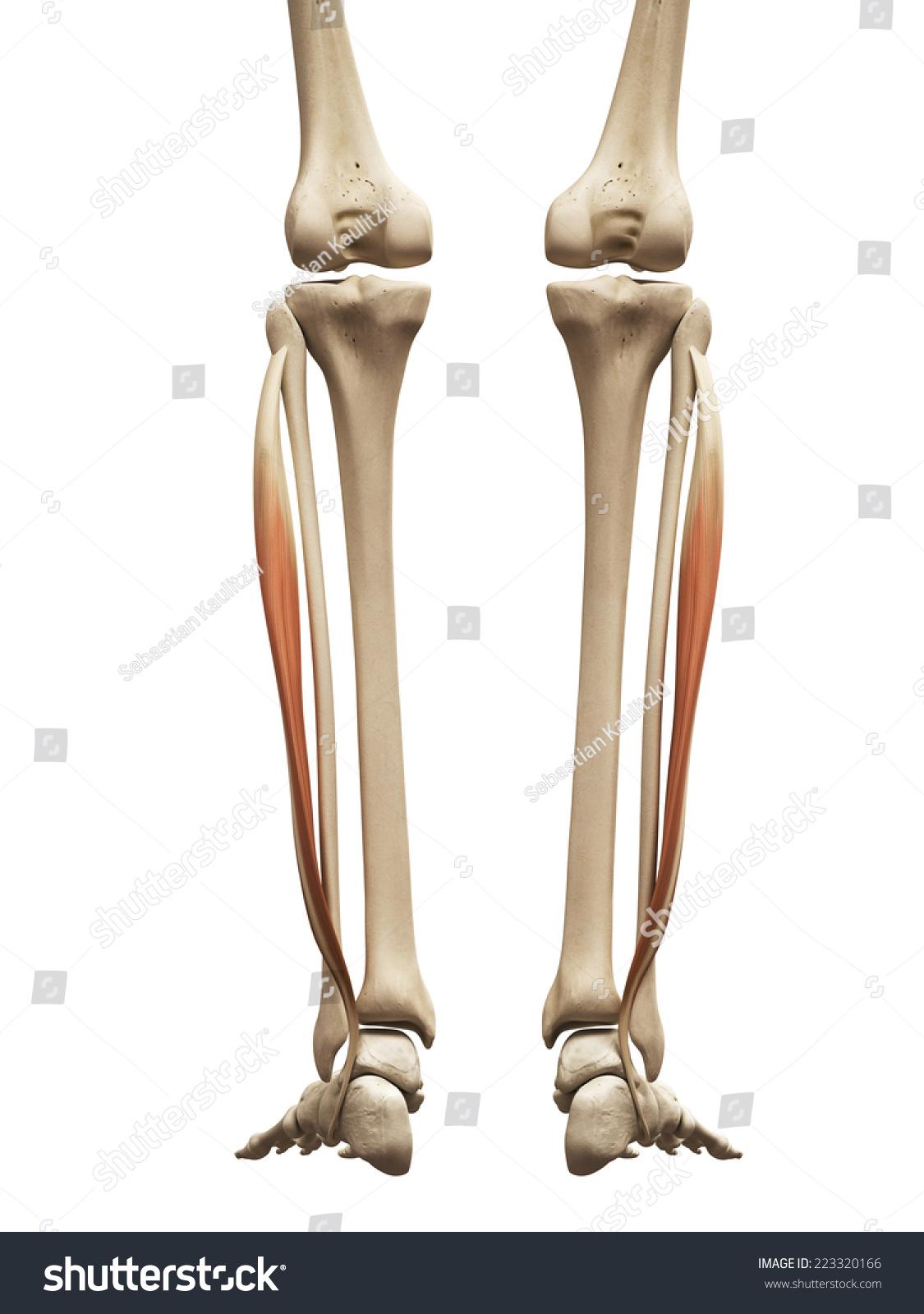 Muscle Anatomy Fibularis Longus Stock Illustration 223320166 ...
