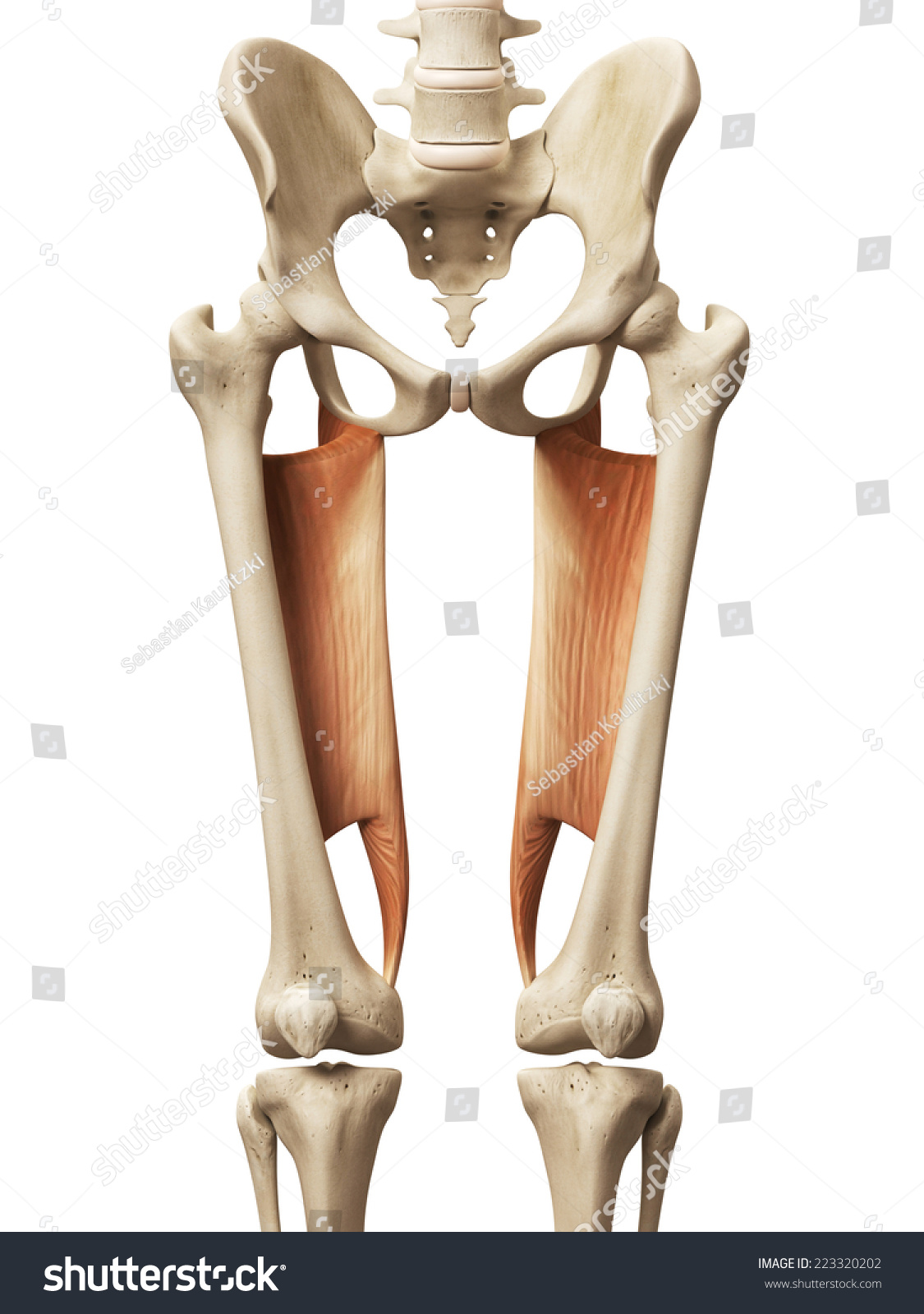 Muscle Anatomy Abductor Magnus Stock Illustration 223320202 ...