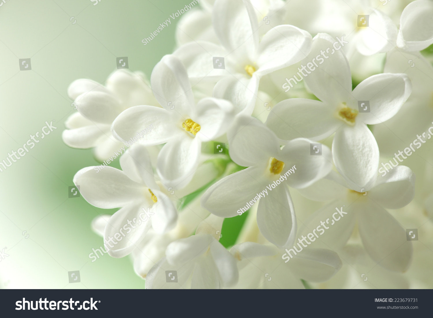 White Lilacs Flowers Background Stock Photo Edit Now 223679731