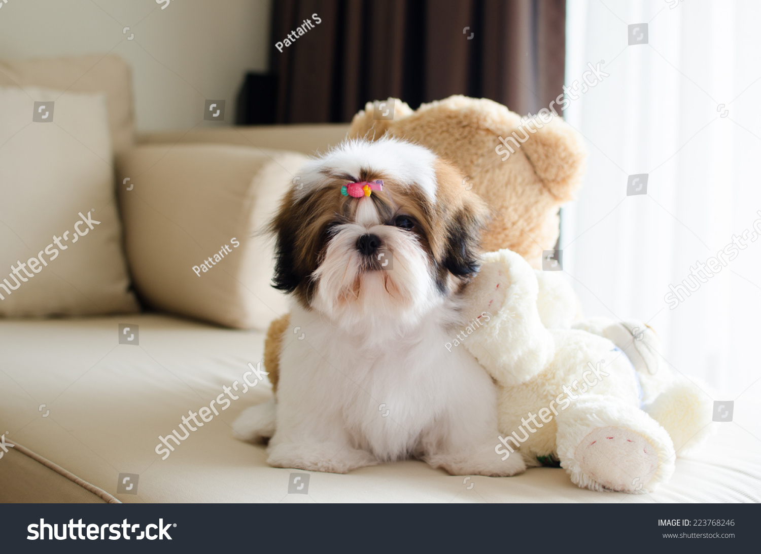 Cute Shih Tzu Puppy Sitting Looking Stock Photo Edit Now 223768246