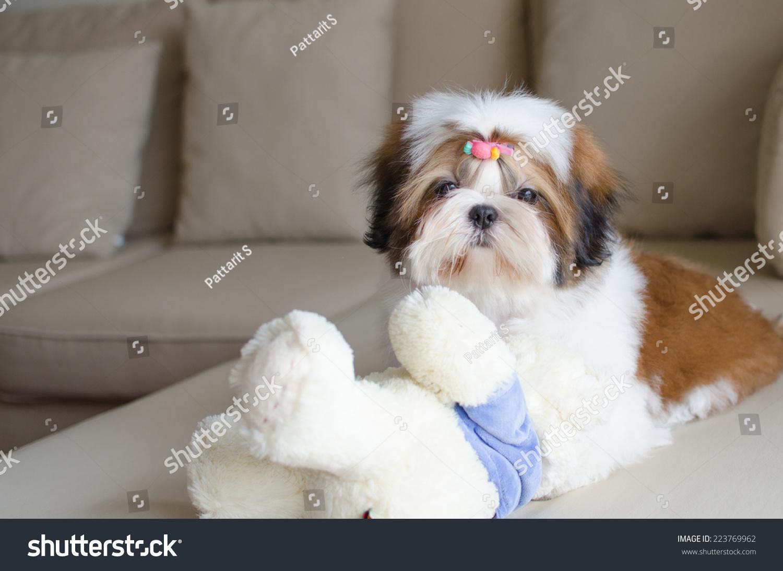 Cute Shih Tzu Puppy Playing Teddy Stock Photo Edit Now 223769962