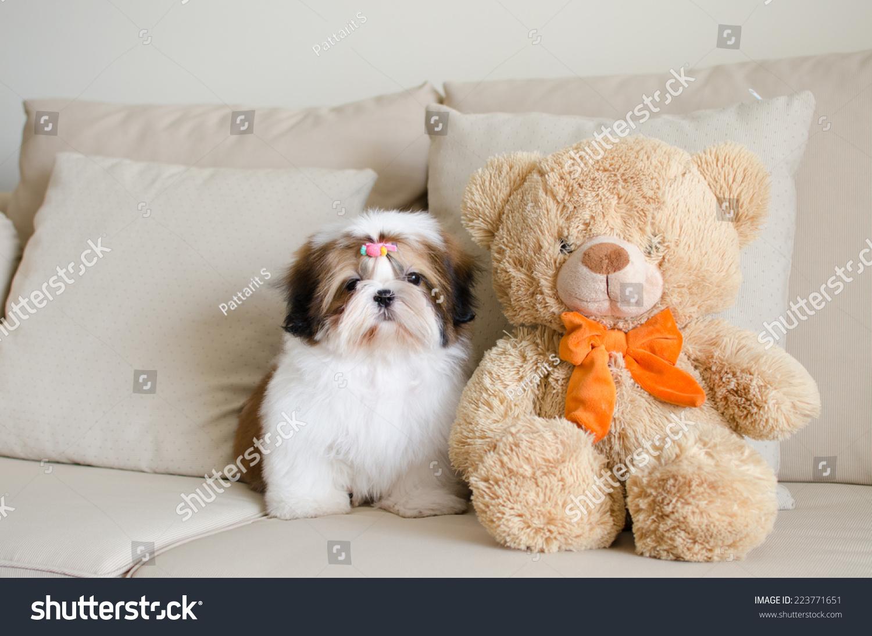 Cute Shih Tzu Puppy Sitting Teddy Stock Photo Edit Now 223771651