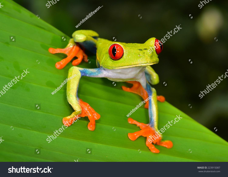 red eyed tree frog agalychnis callidryas stock photo 223915087