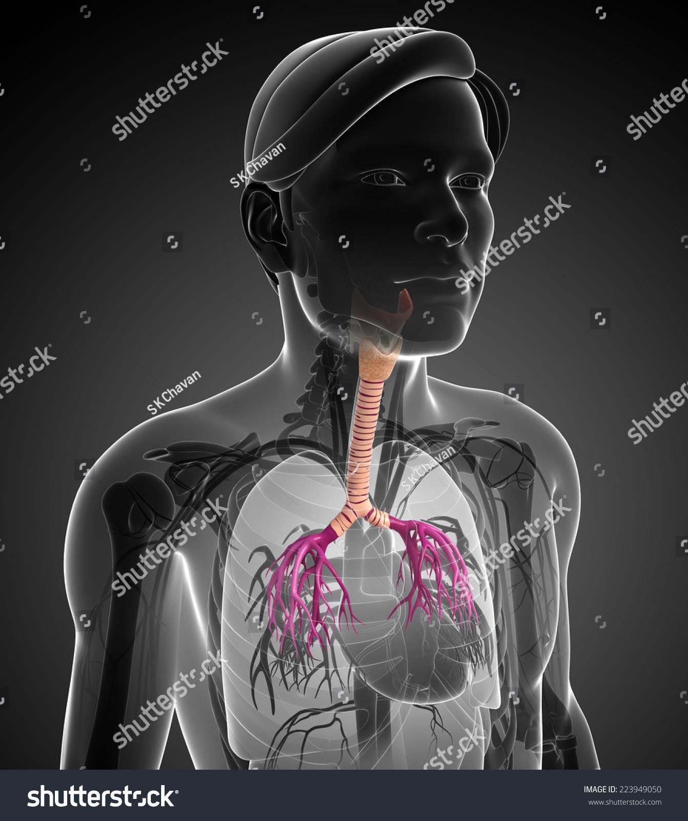 Illustration Male Throat Anatomy Stock Illustration 223949050