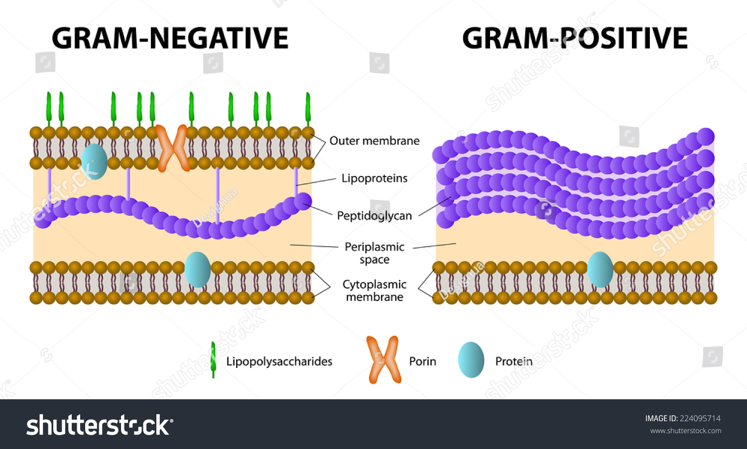 Bacteria difference grampositive gramnegative bacterial stock difference of gram positive from gram negative bacterial ccuart Gallery
