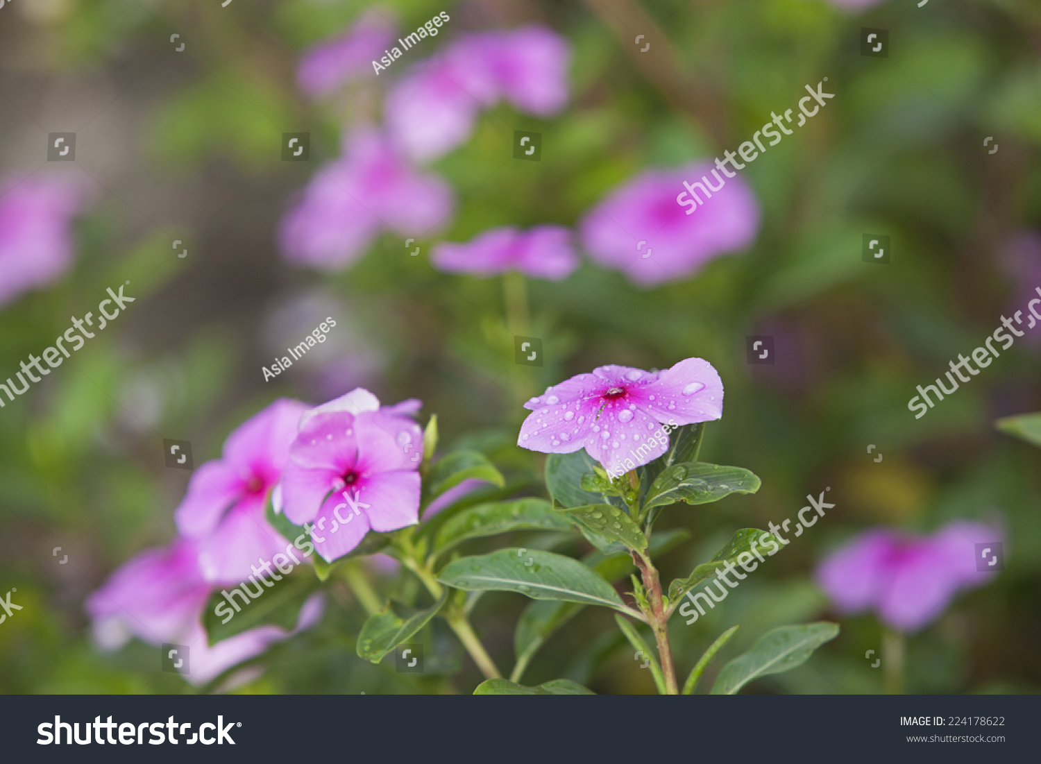 Periwinkle Or Madagascar Rosy Periwinkle Or Cape Periwinkle Or Rose