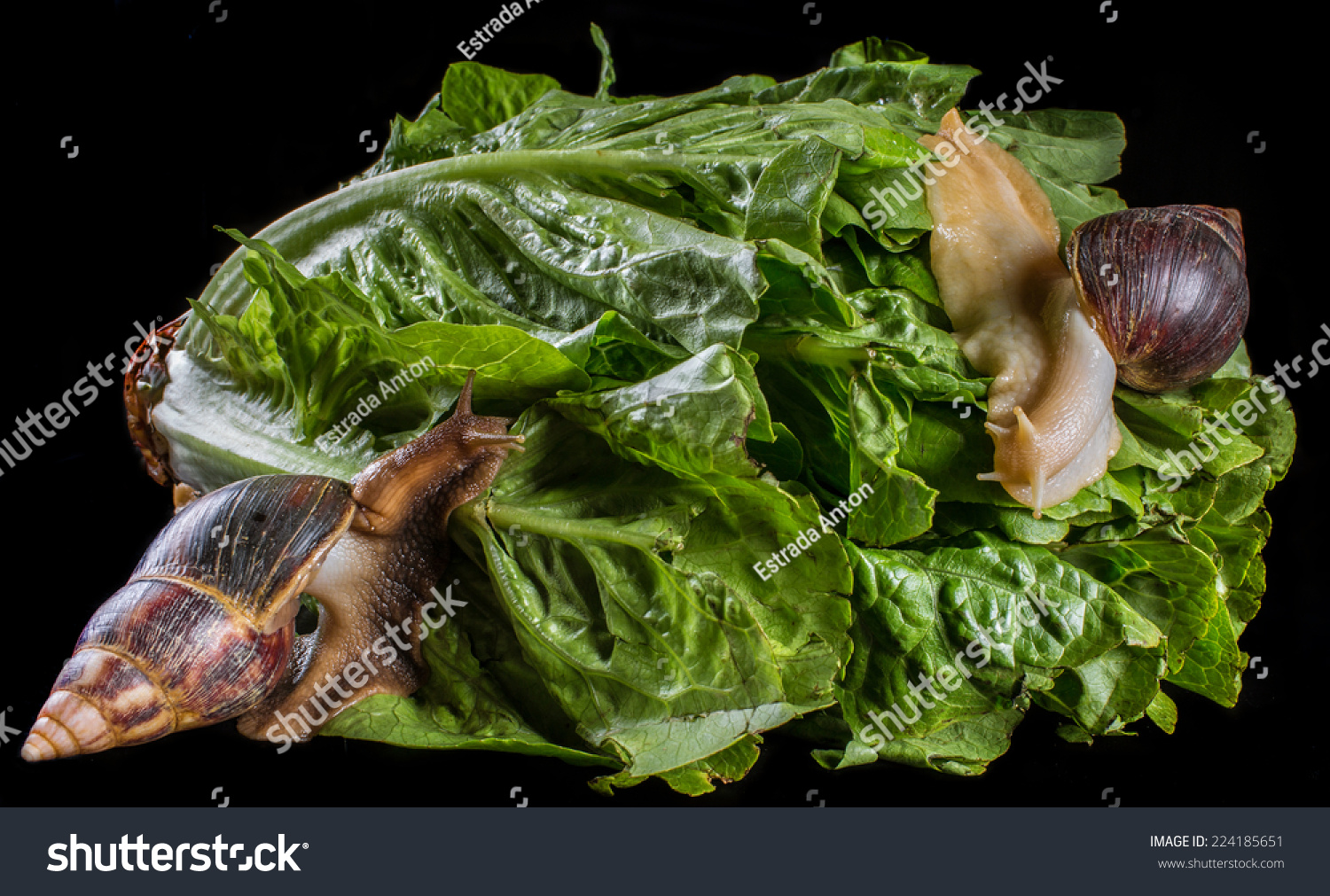 Giant african land snail eating - photo#14