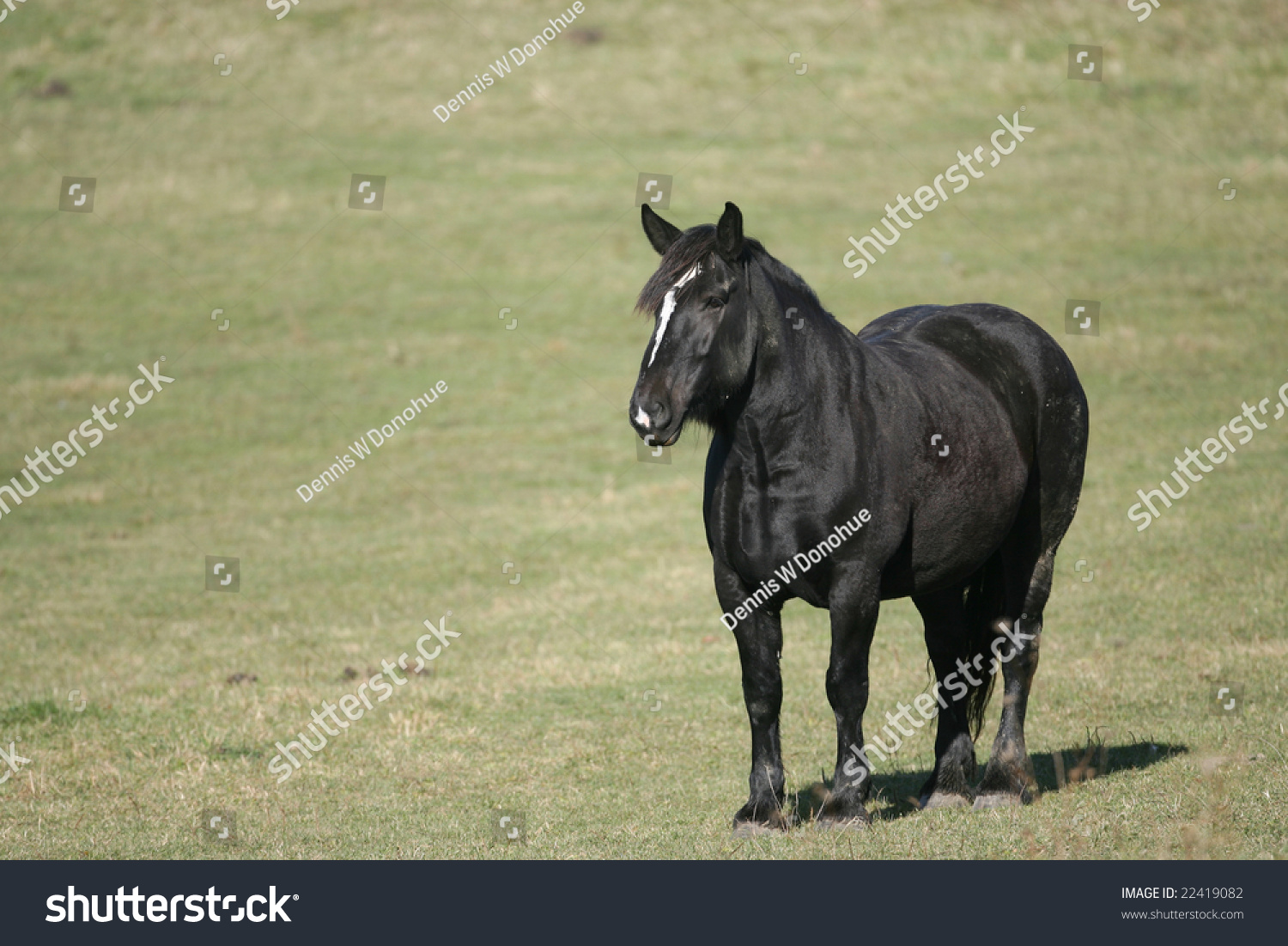 Old Black Draft Horse Pasture On Stock Photo Edit Now 22419082