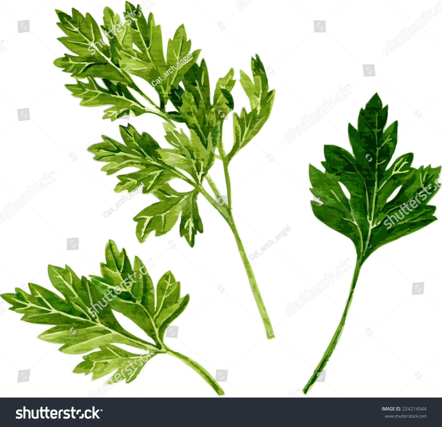 Parsley Illustration Leaves Of Parsley Draw...