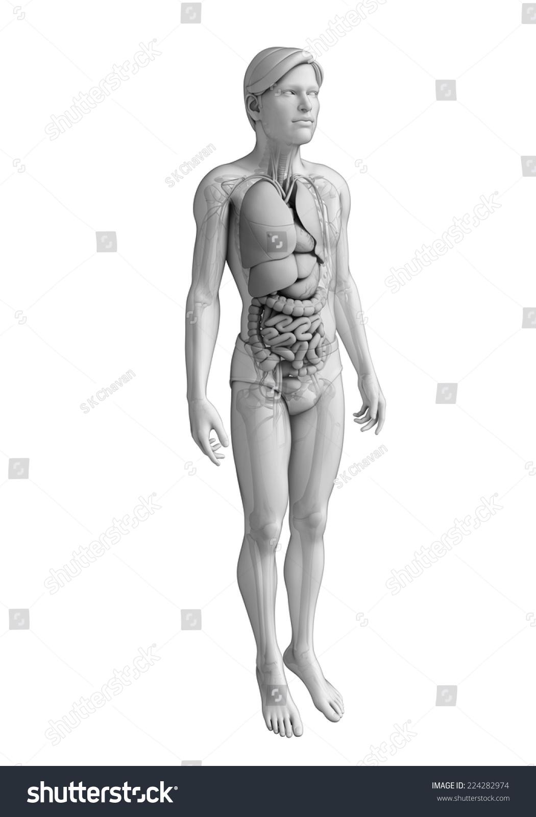 Illustration Male Digestive System Stock Illustration 224282974 ...