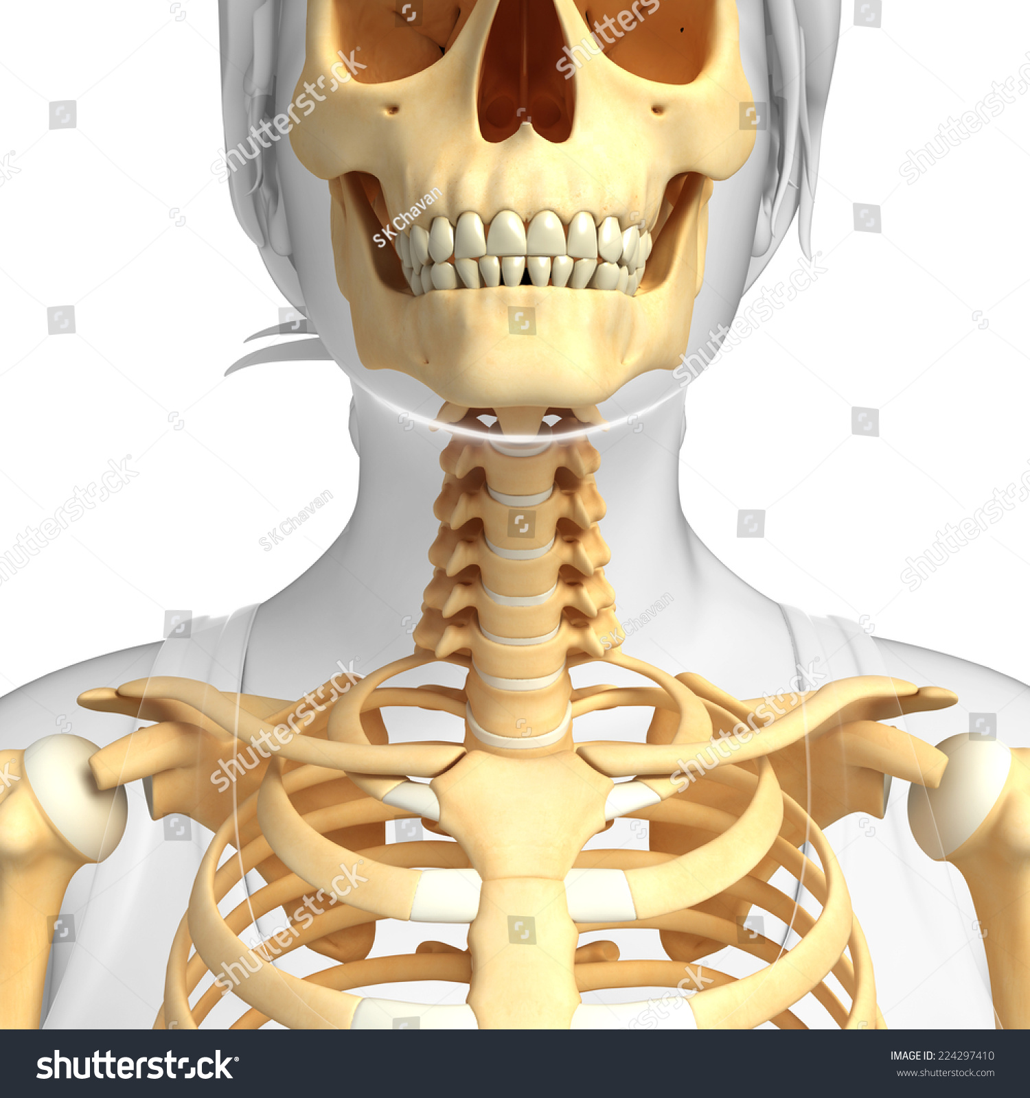 Illustration Human Neck Skeleton Stock Illustration 224297410