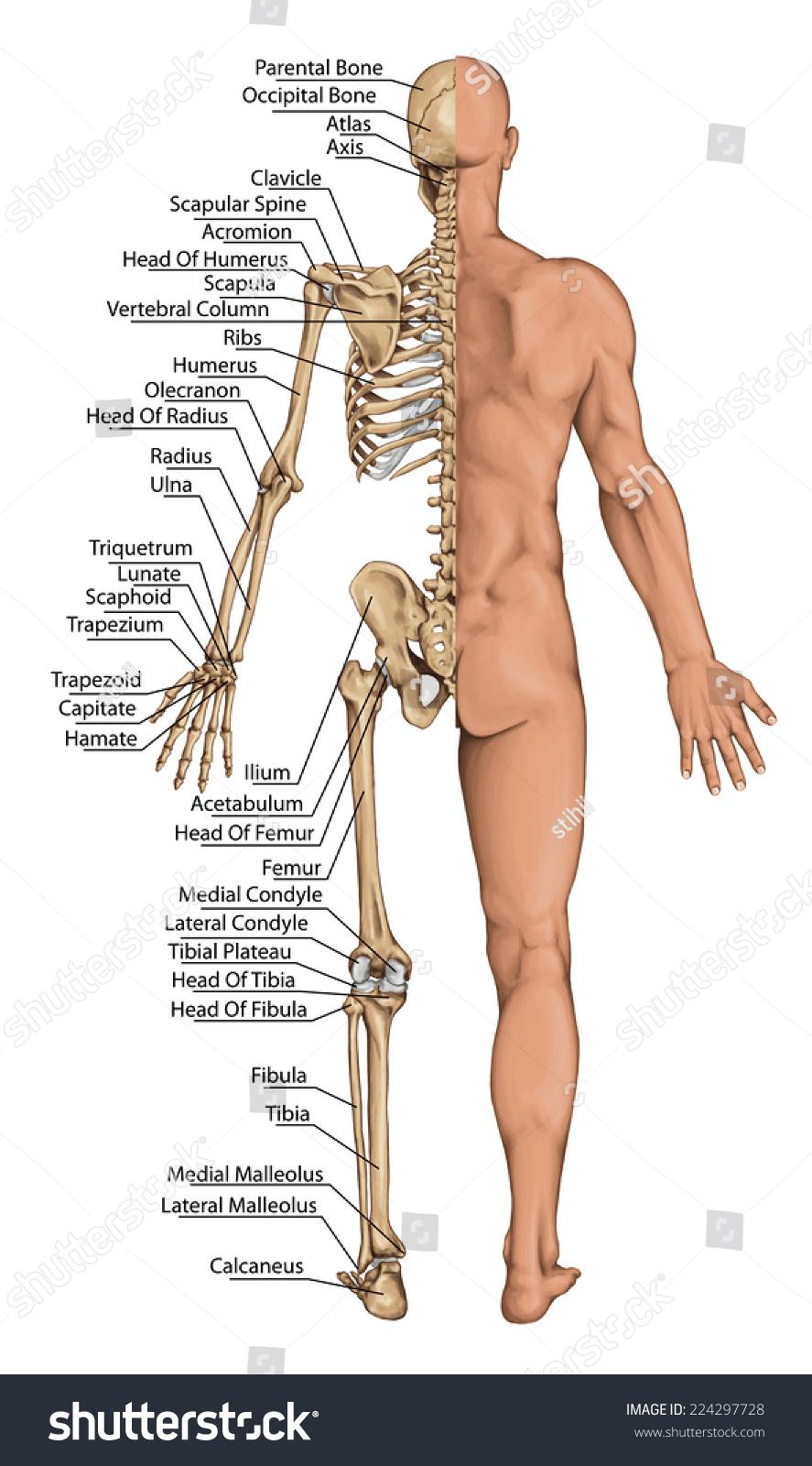 Anatomical Board Anatomical Body Human Skeleton Stock Illustration ...