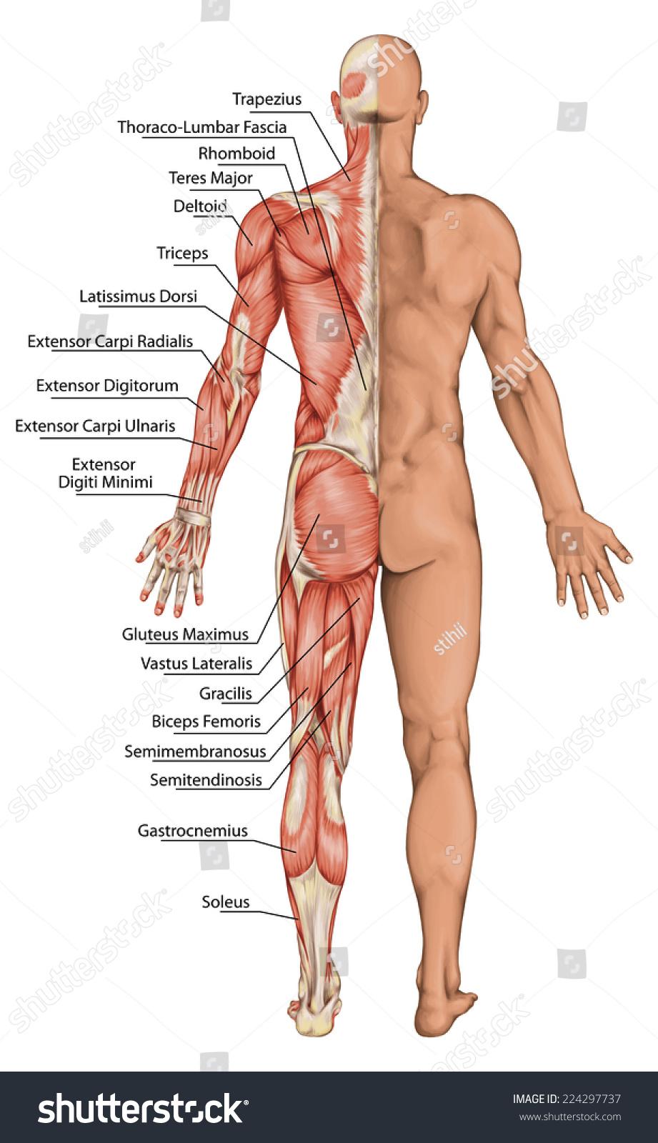 Anatomical Board Male Anatomy Mans Anatomical Stock Illustration ...