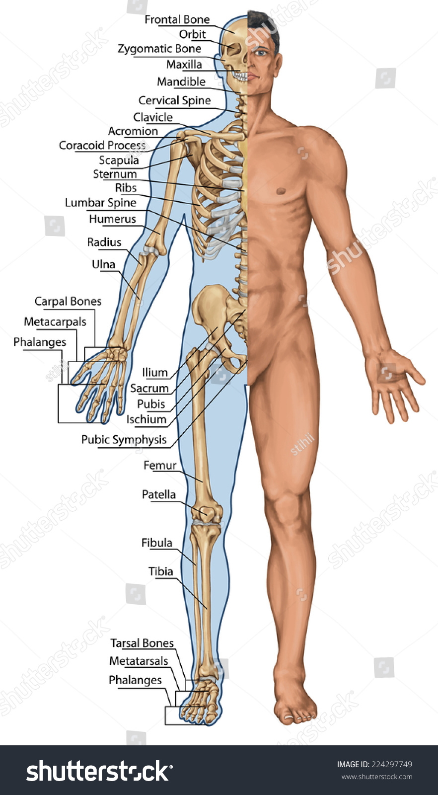 Anatomical Board Anatomical Body Human Skeleton Stock Illustration