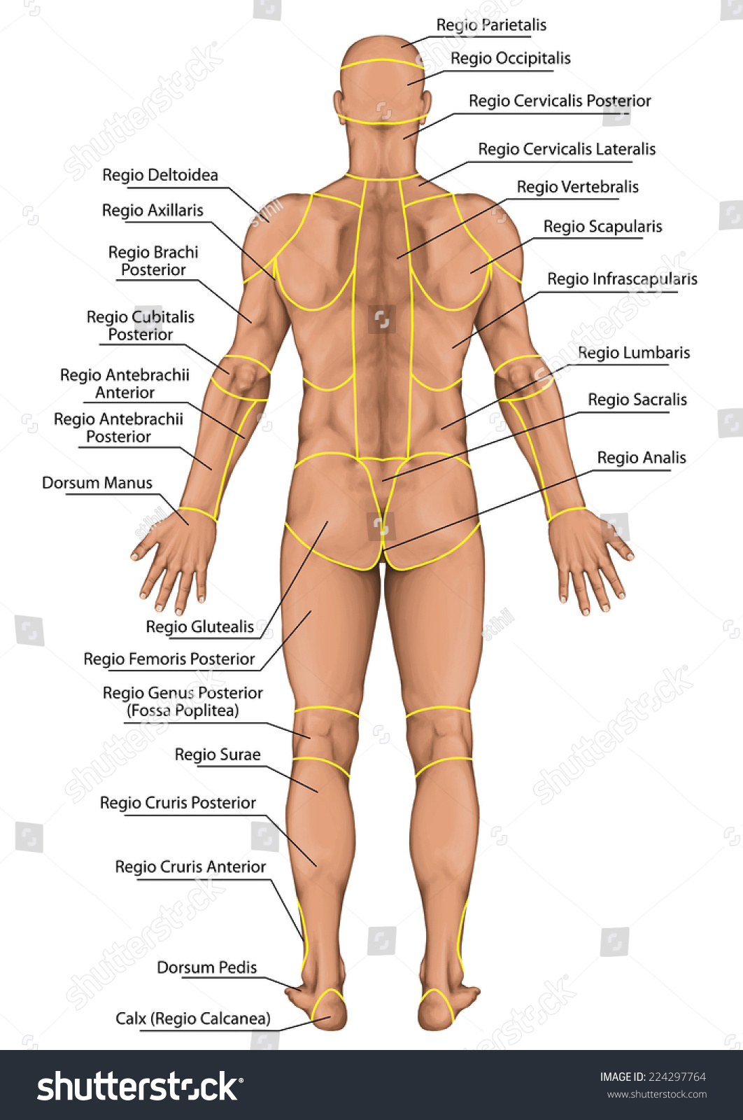 Anatomical Board Region Human Body Regions Stock Illustration