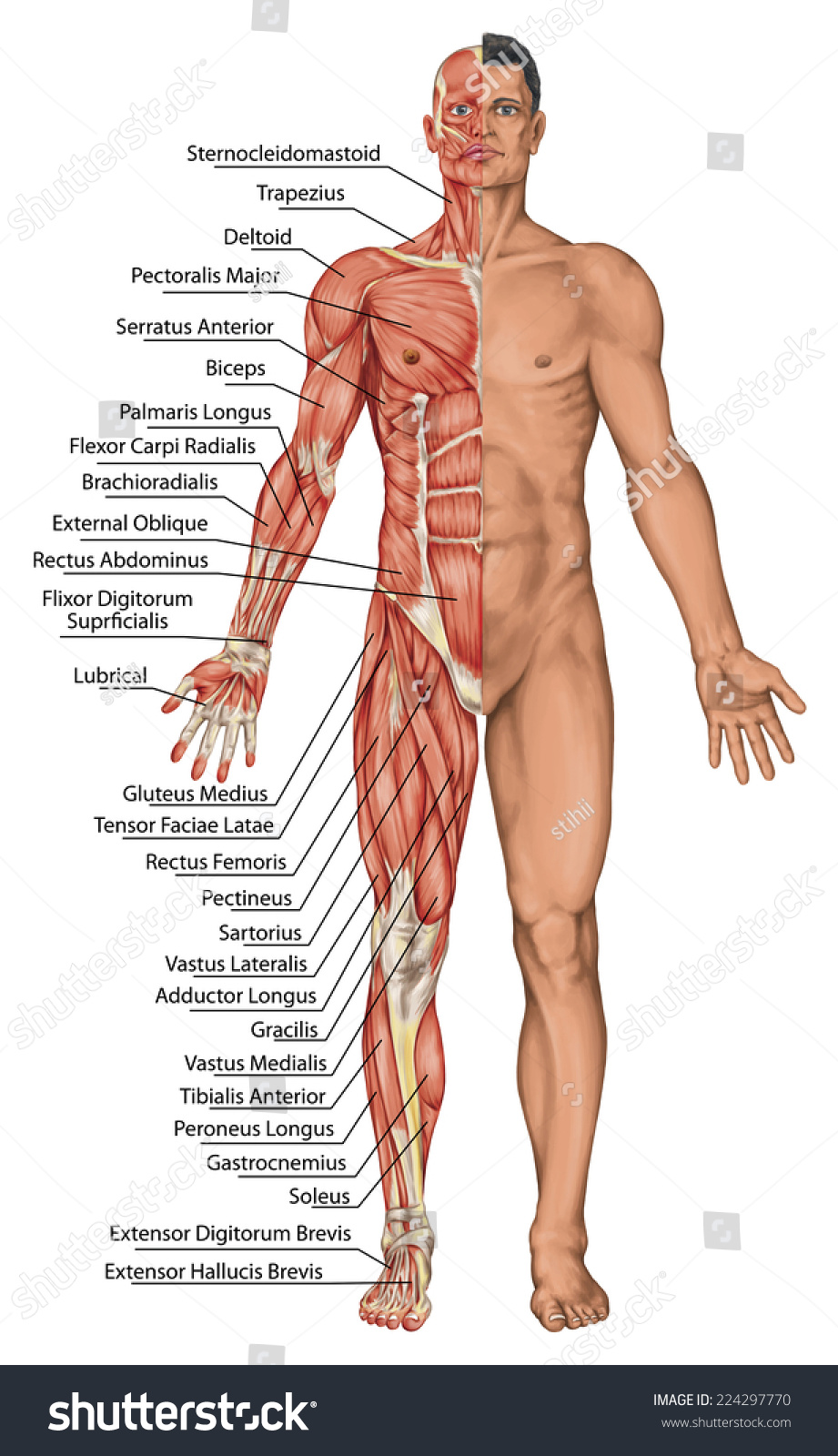 Anatomical Board Male Anatomy Mans Anatomical Stock Illustration