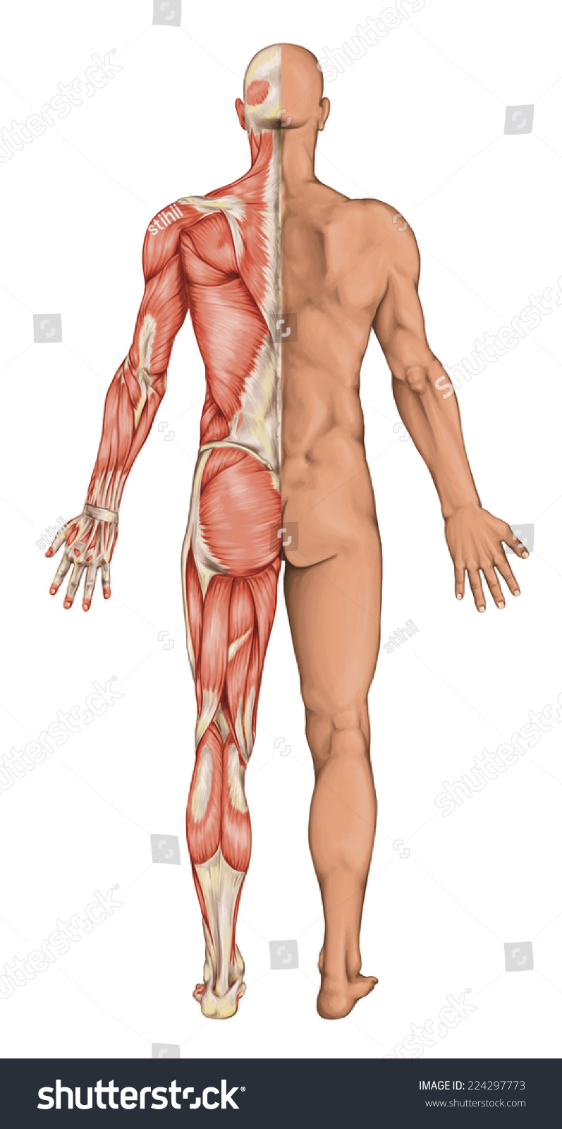 Male Anatomy Mans Anatomical Body Human Stock Illustration Royalty