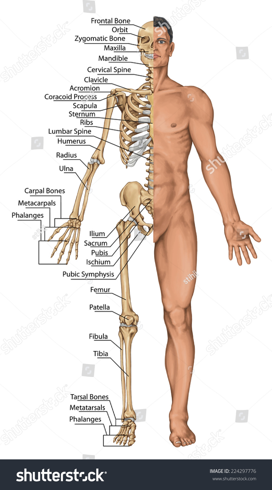 Royalty Free Anatomical Board Anatomical Body 224297776 Stock
