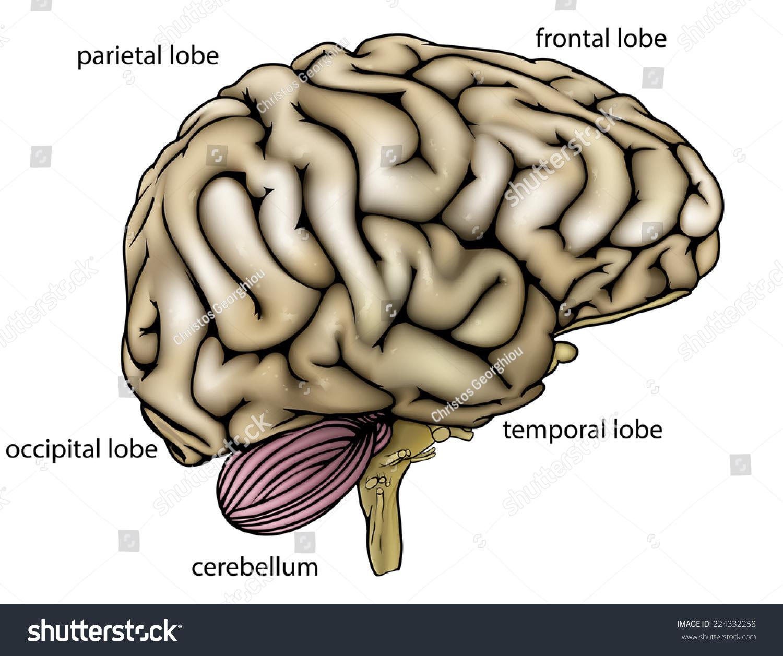 Illustration Anatomy Diagram Anatomically Correct Human Stock