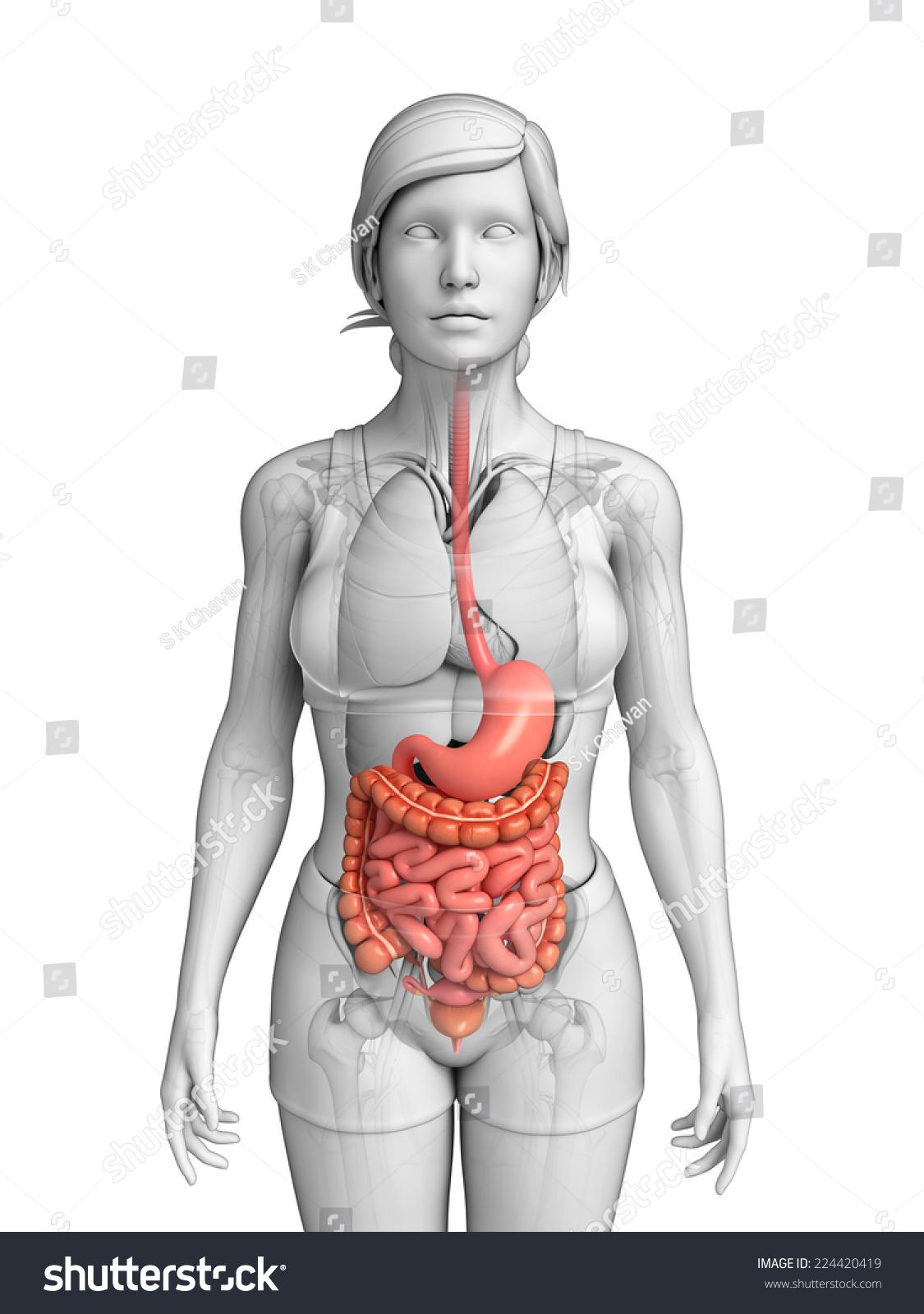 Small Bowel Anatomy Gallery - human body anatomy