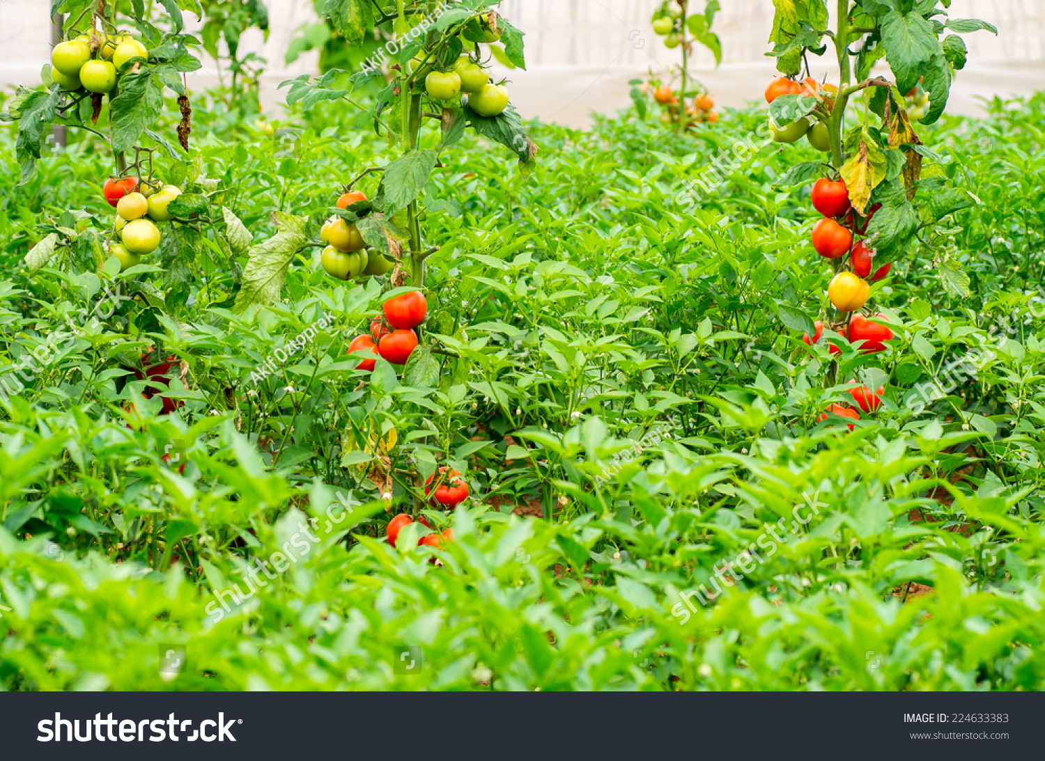 plants balcony photo with terrace alamy stock garden tomato
