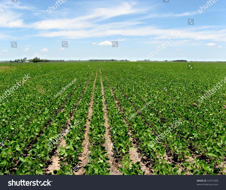 Field Intensive Farming Soy Bean Location Stock Photo 22472308 ...