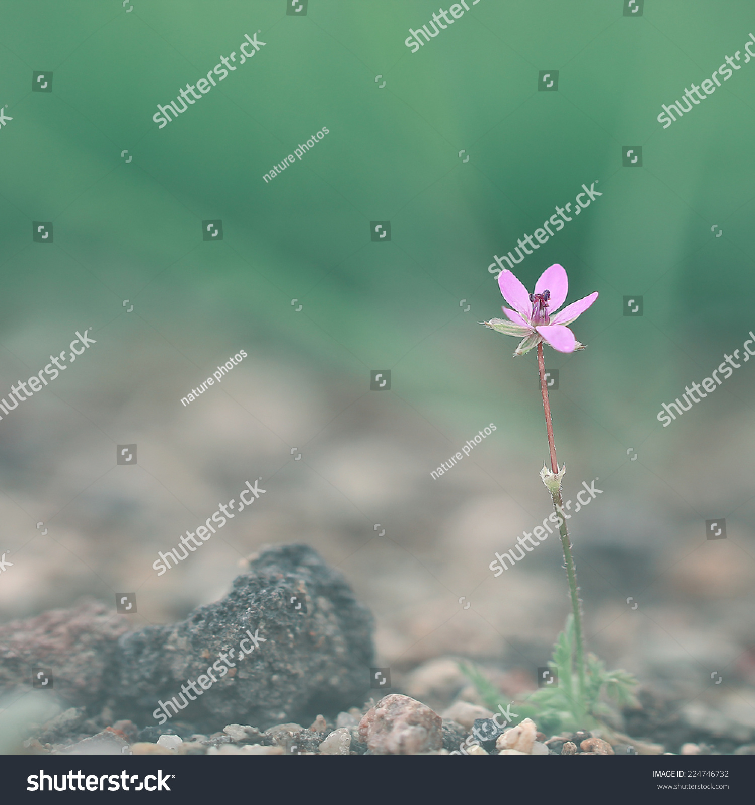 Soft Wild Meadow Pink Flower Grow Stock Photo Edit Now 224746732