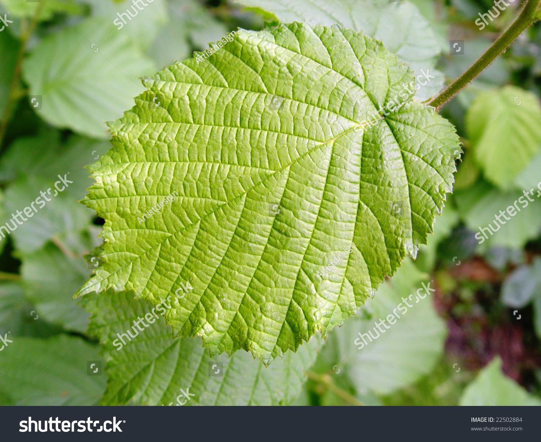 Green Leaf Of A Hazelnut Tree Stock Photo 22502884 ...