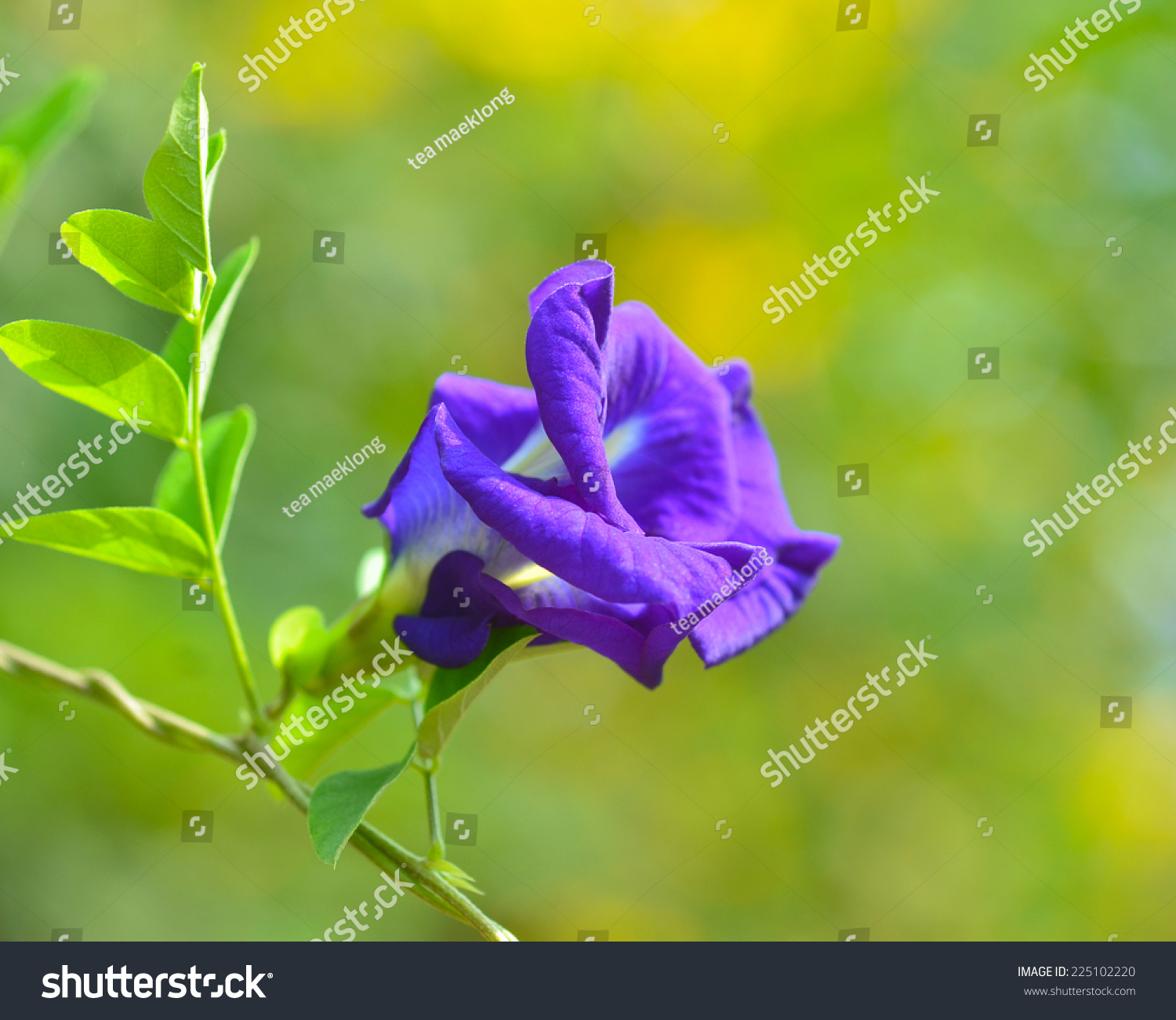 Blue pea blue vine butterfly pea stock photo edit now shutterstock blue pea blue vine butterfly pea pigeon wings flower medicinal herbs to treat izmirmasajfo