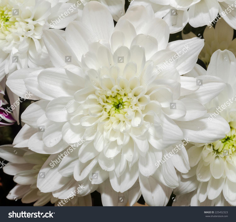 White Chrysanthemum Flower Close Up Ez Canvas