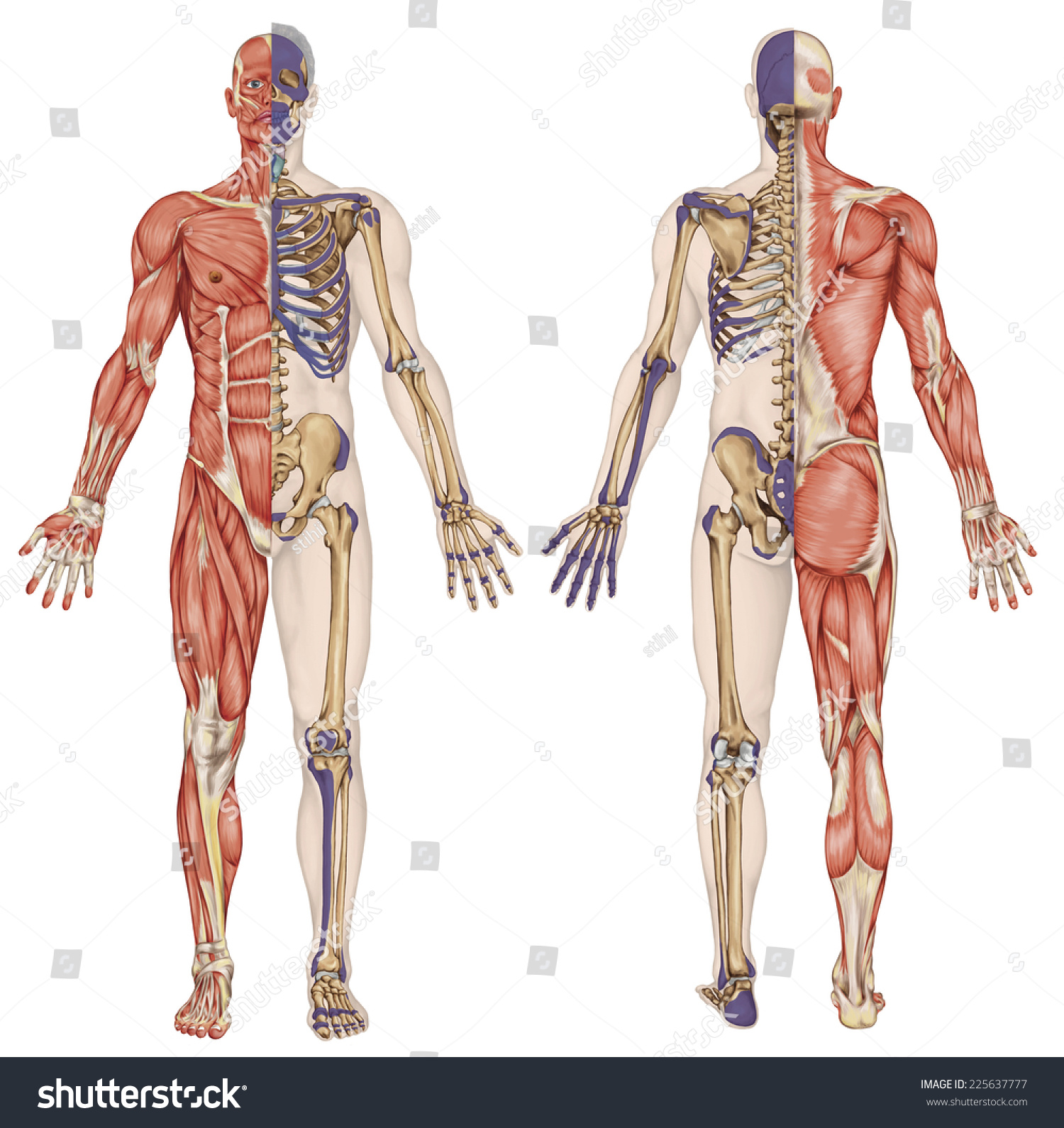 Anatomical Body Human Skeleton Anatomy Human Stock Illustration