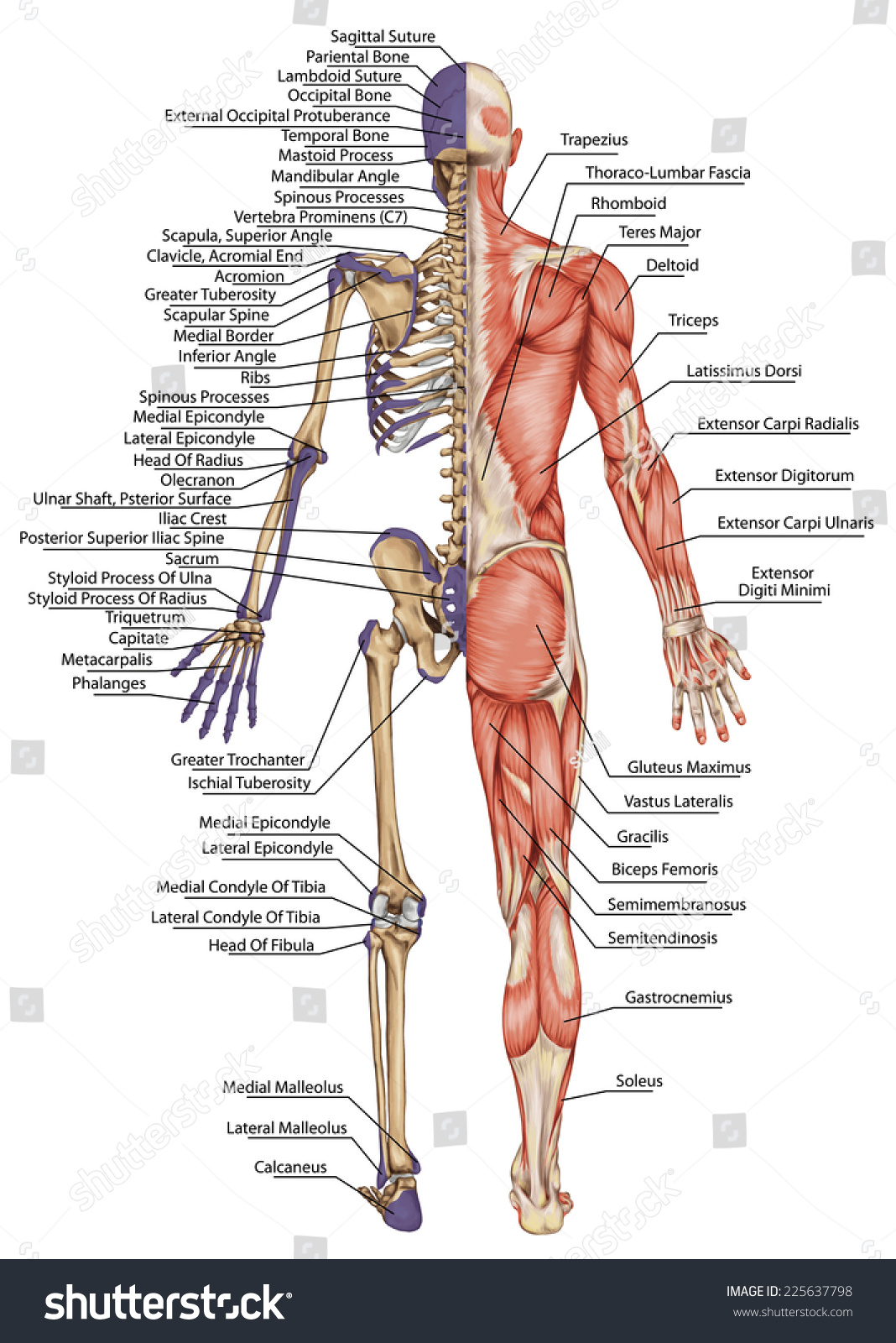 Royalty Free Anatomical Body Human Skeleton 225637798 Stock