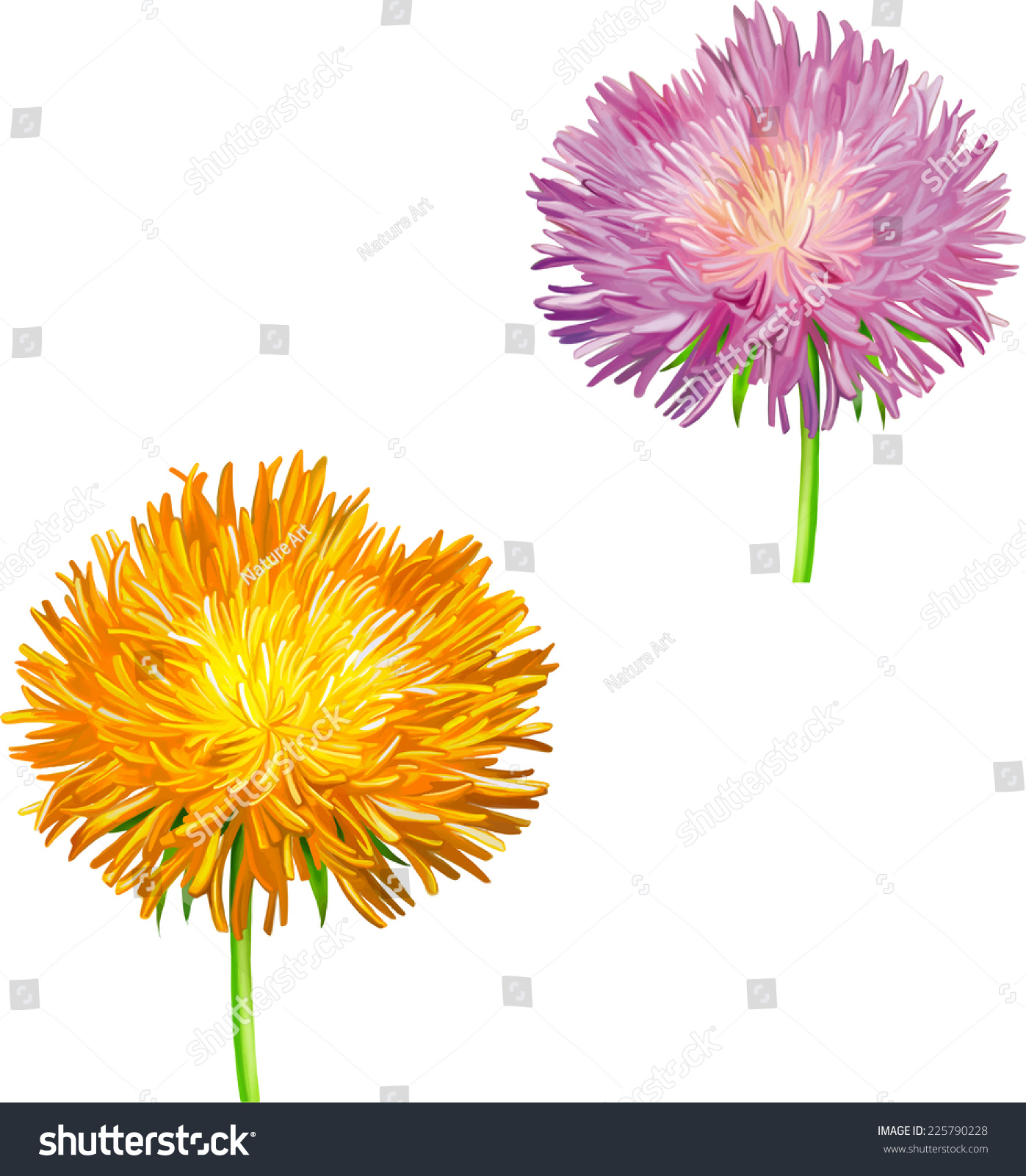 Pink Yellow Thistle Flower Aster Flower Stock Vector Royalty Free
