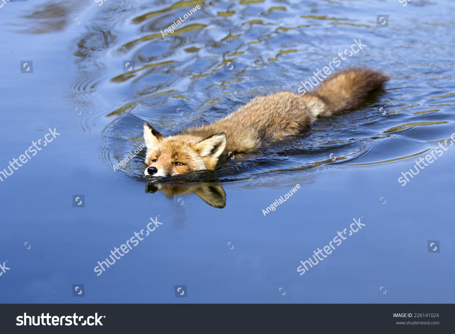 Image result for fox swimming in water