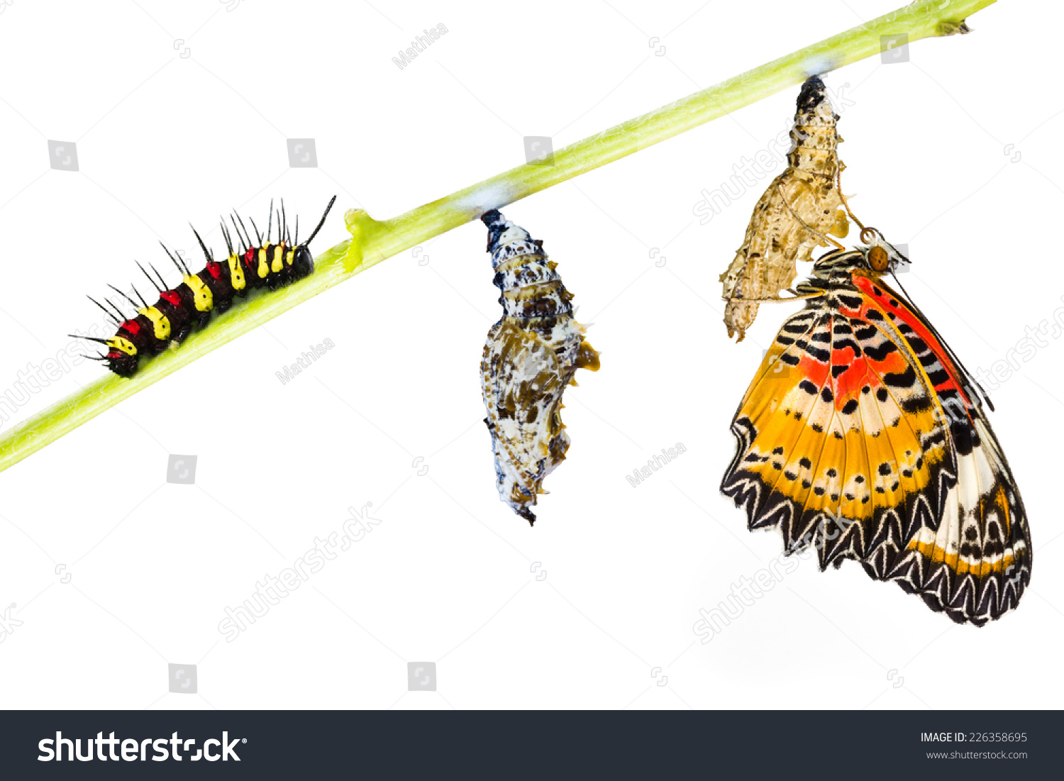 Leopard Lacewing Cethosia Cyane Euanthes Butterfly Stock Photo ...