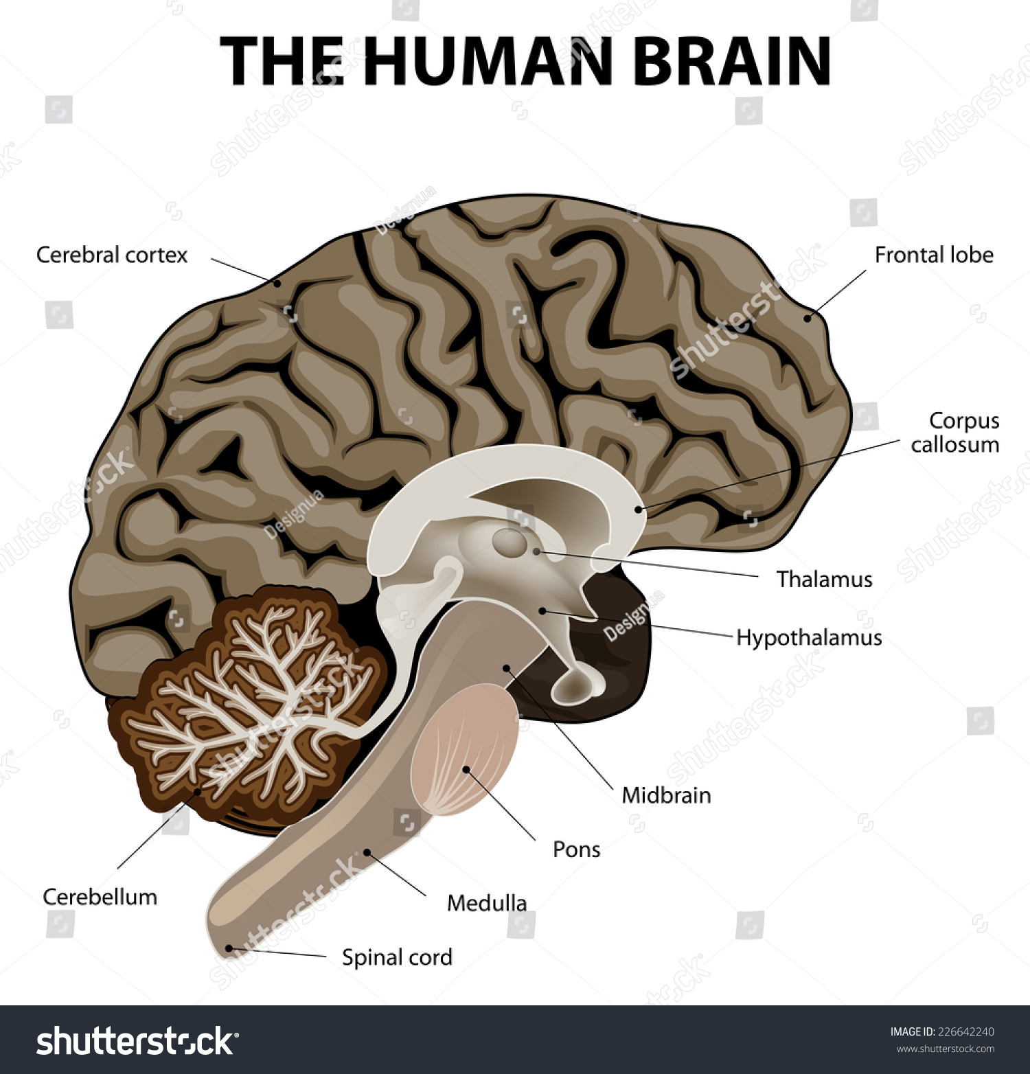 Vertical Section Human Brain Showing Medulla Stock Vector Royalty