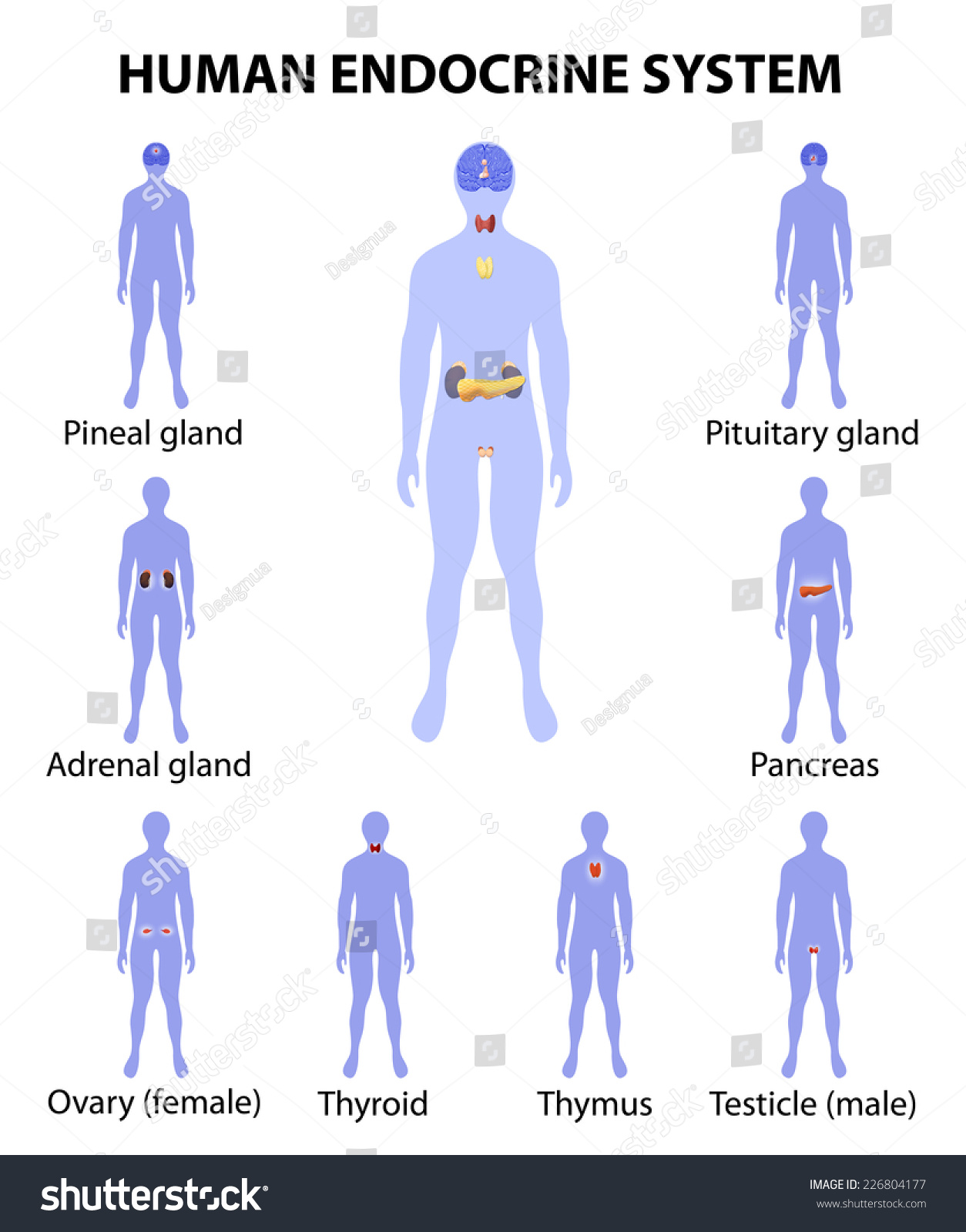 physioex 8 0 review sheet endocrine system Free essay: physioex 90 review sheet exercise 4 endocrine system physiology name laura bauer lab time/date thursday 5:30-7:30 activity 1 metabolism and.