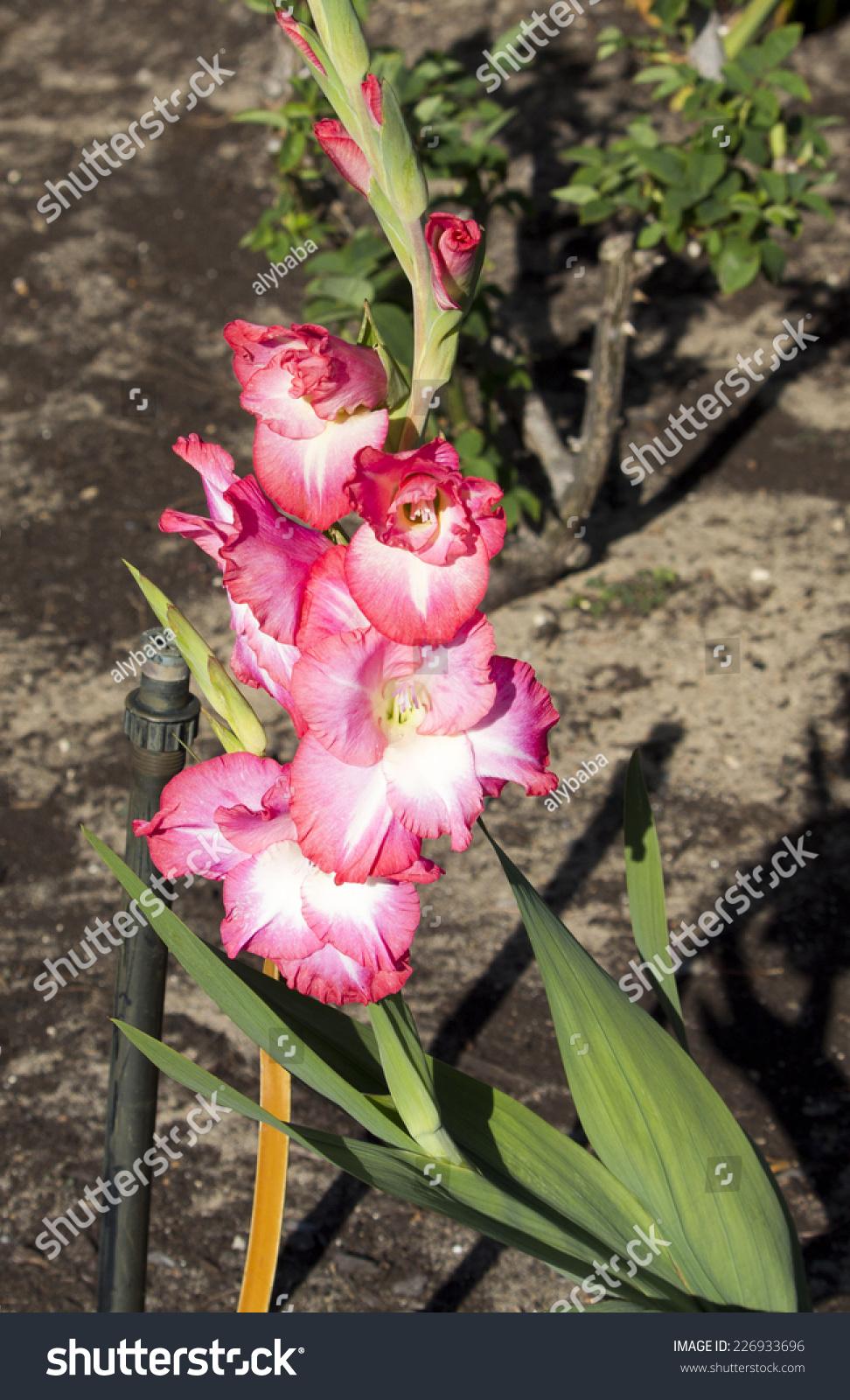 Gladiolus Sword Lily Genus Perennial Bulbous Stock Photo Edit Now