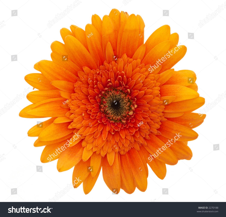 Single Orange Daisy Flower Close Up On White Background Ez Canvas