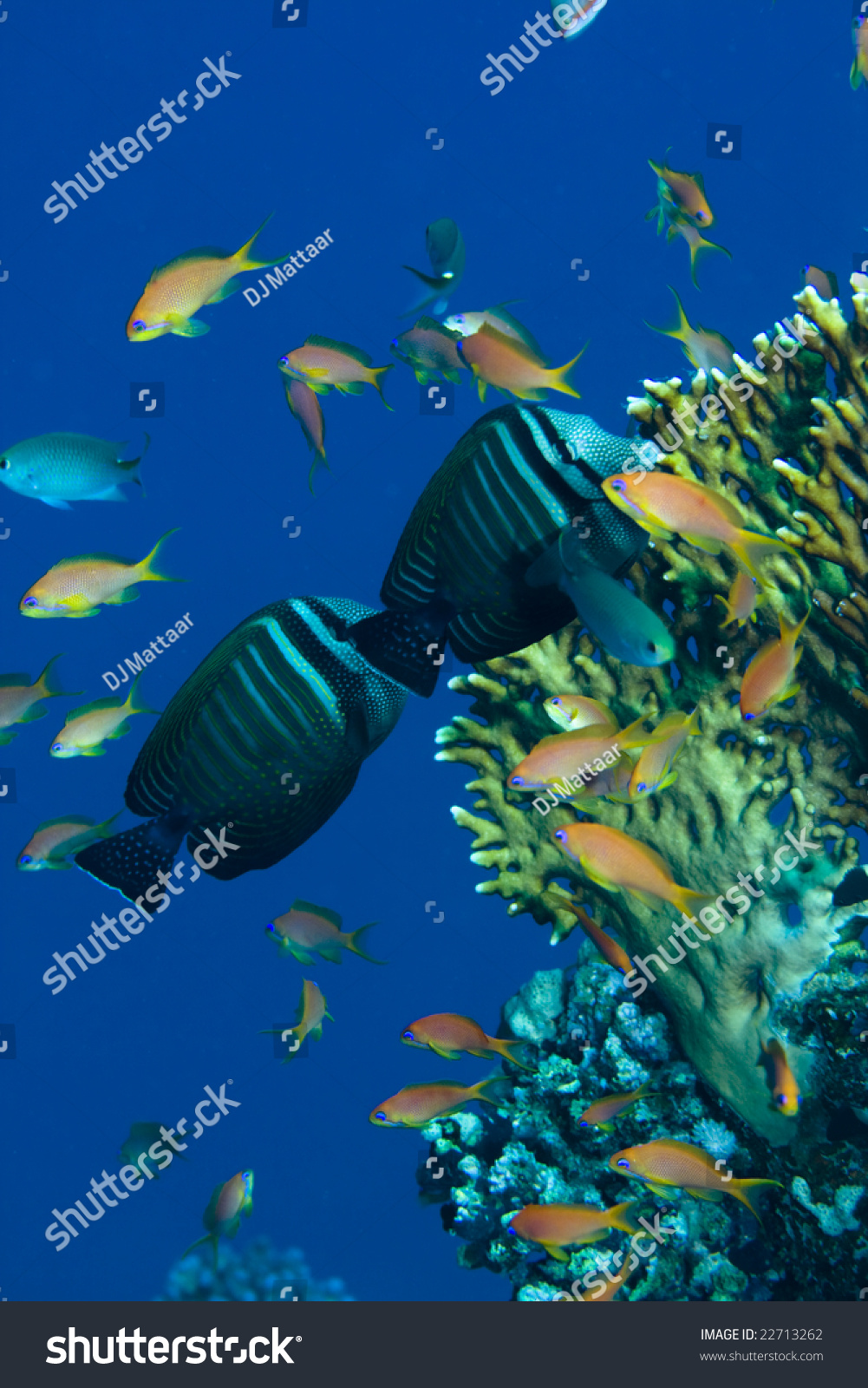 Two sailfin tang and other fish over coral on a reef in for Other fish in the sea