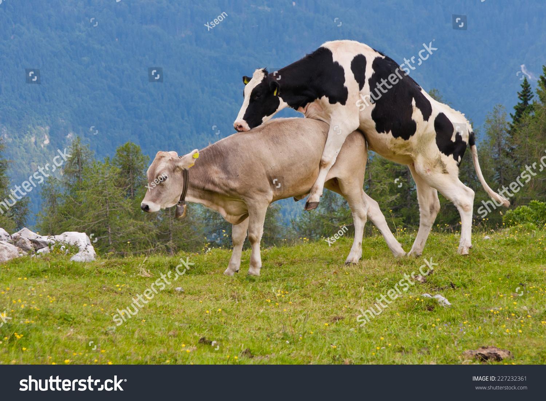 Секс с с коровой