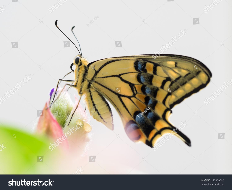 Common Yellow Swallowtail Spider Flower Stock Photo Edit Now